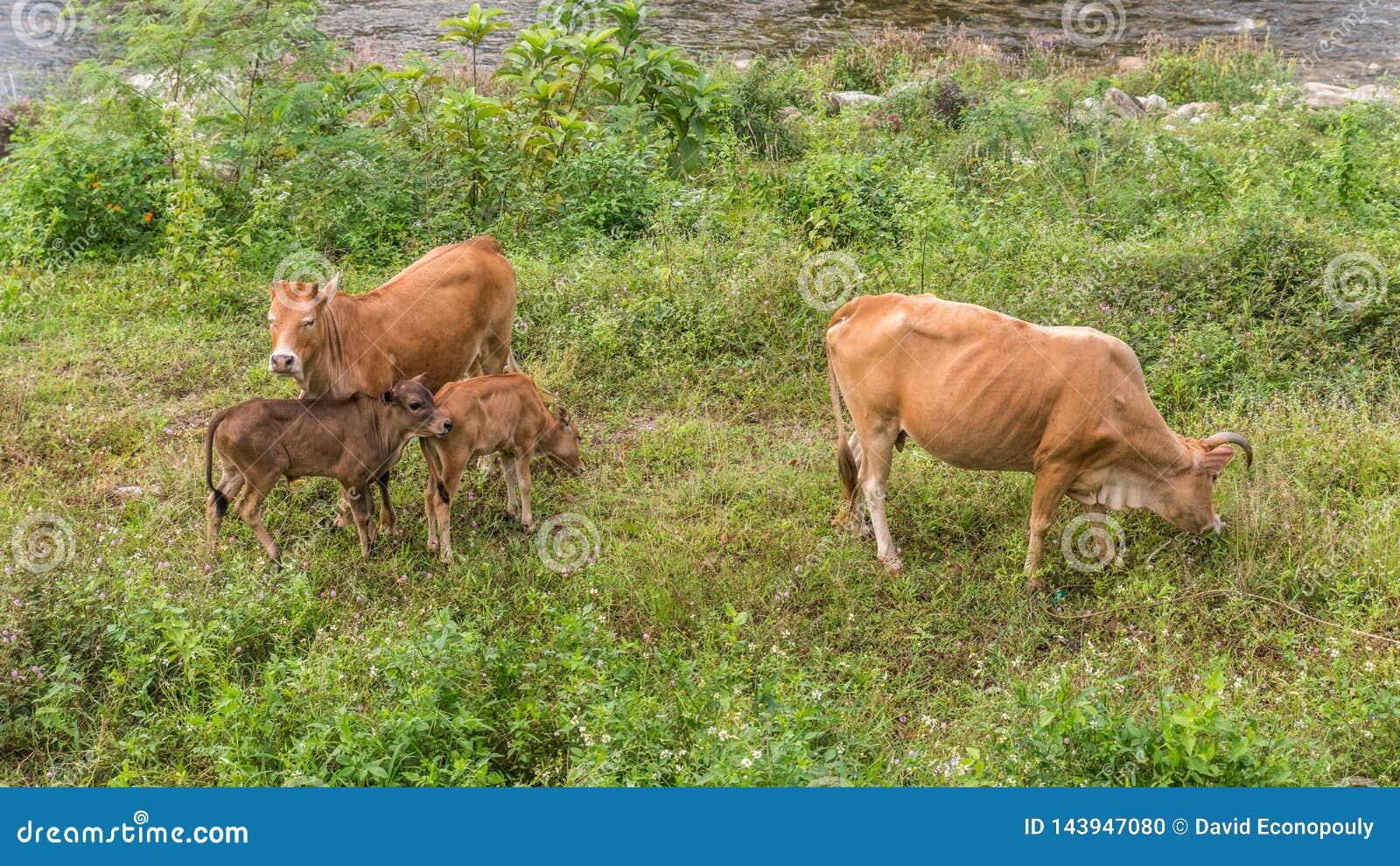 Krowa i łydki stroną rzeka w Kiriwong