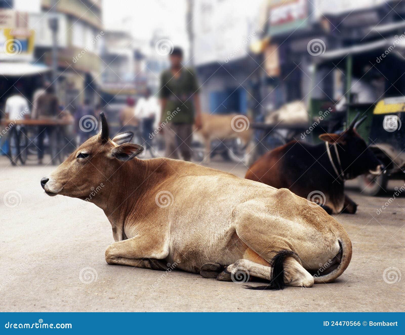 Krowa ind