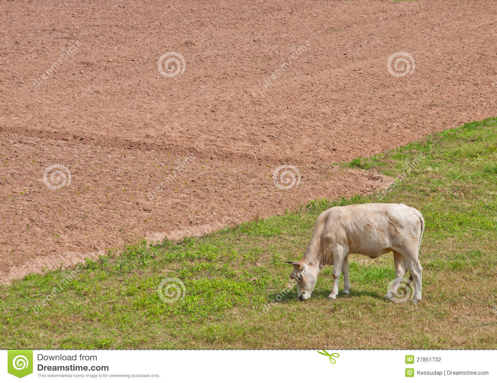Krowa je trawy w polu