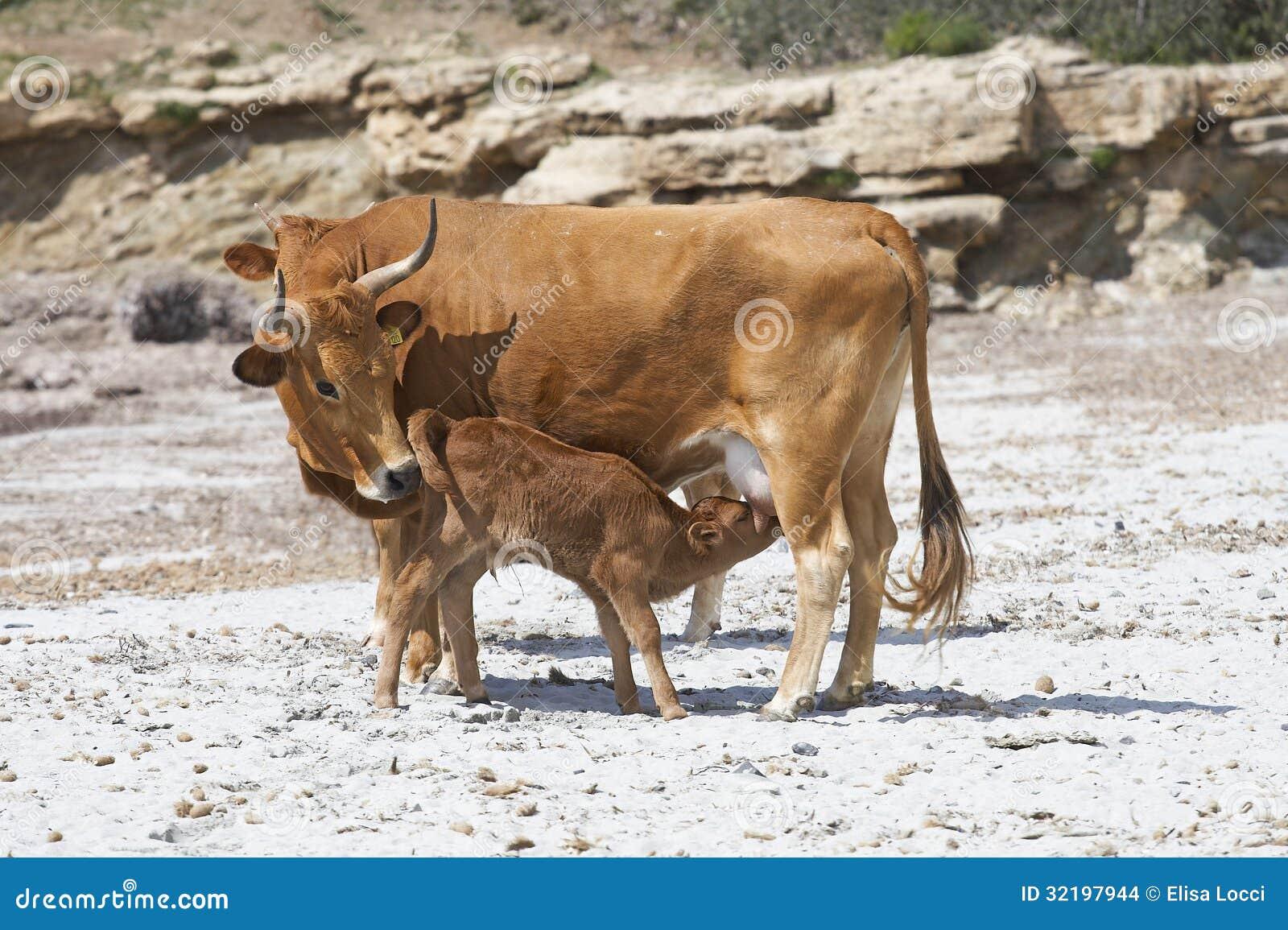 Krowa karmi łydki