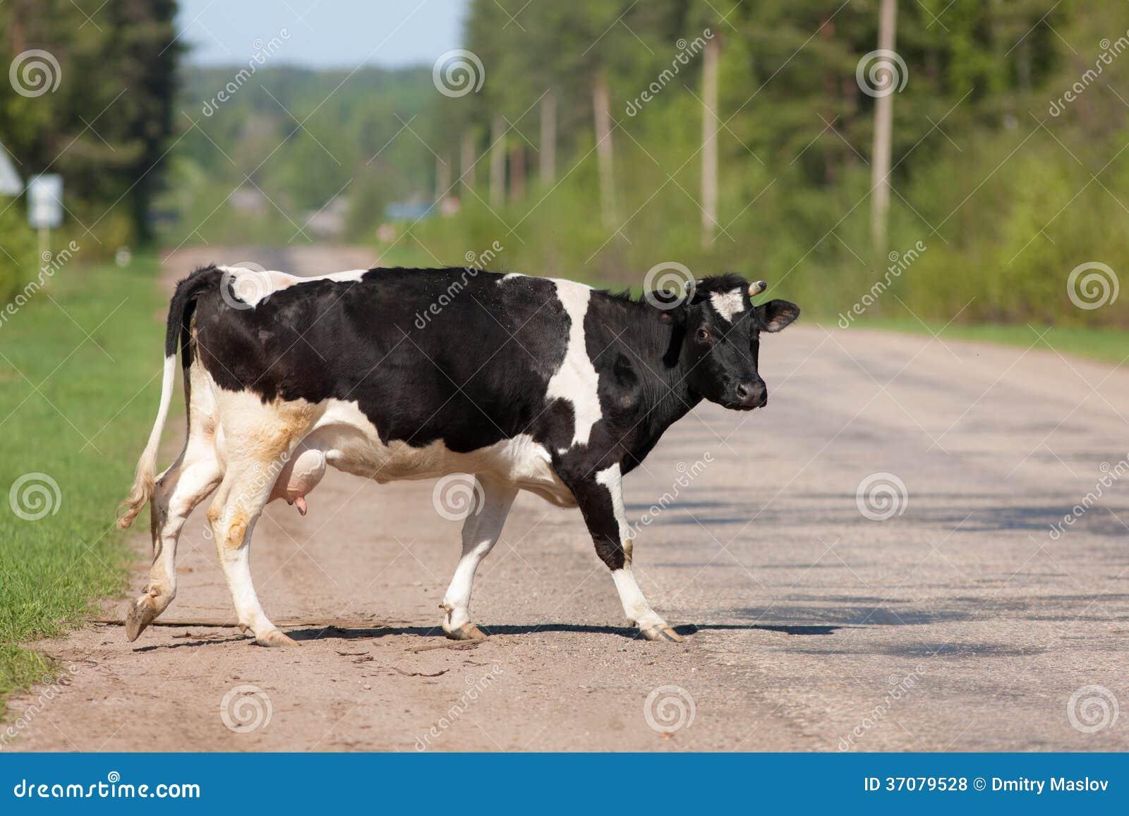 Download Krowa krzyżuje drogę zdjęcie stock. Obraz złożonej z natura - 37079528