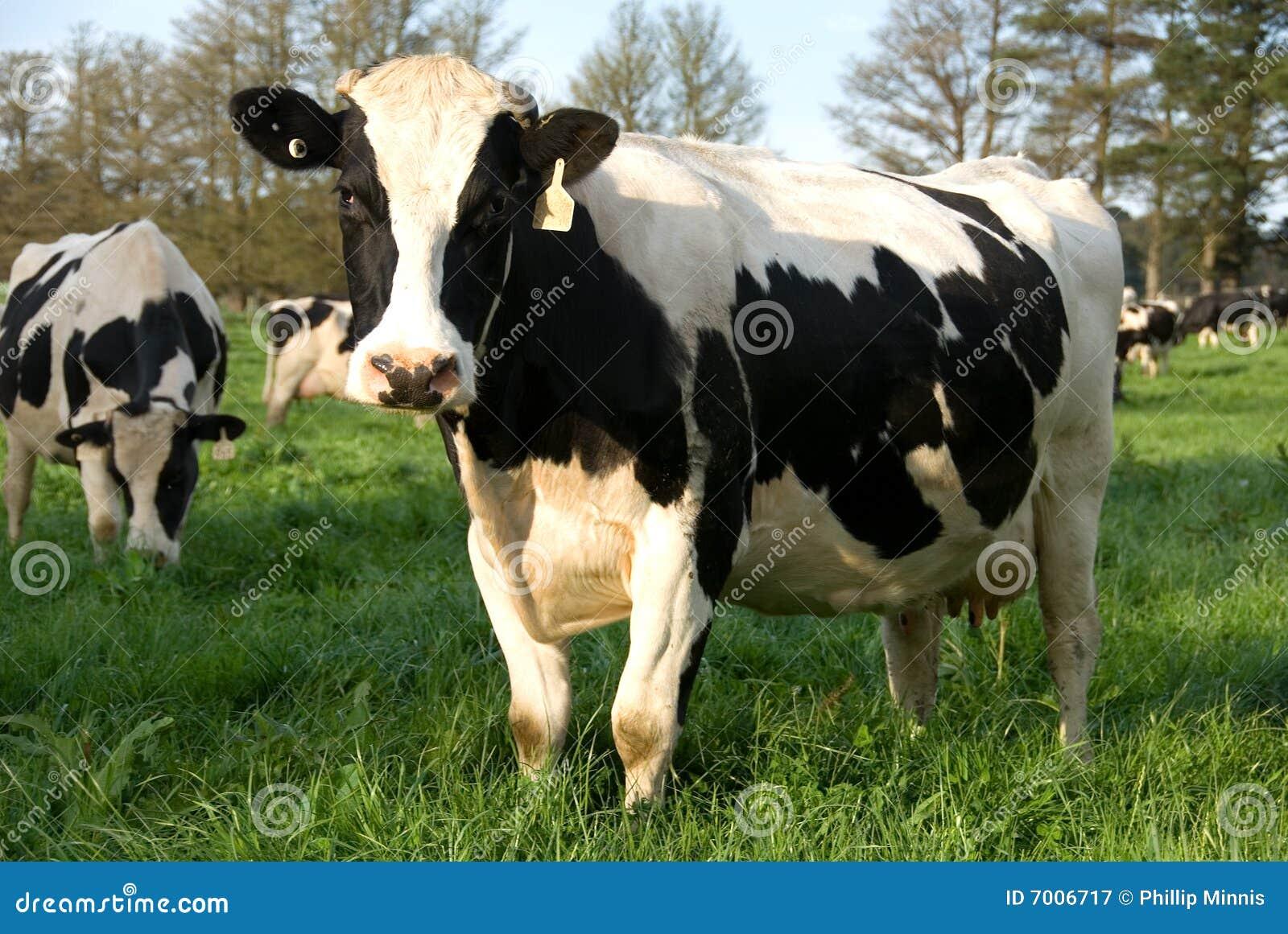Krowa nabiał