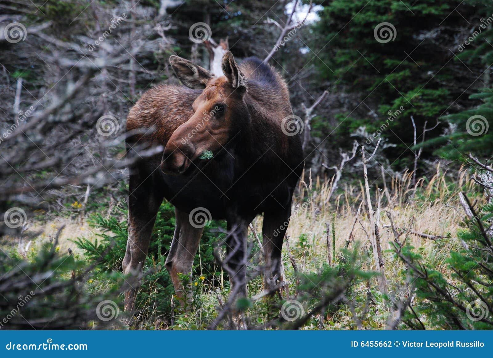Krowa oddziału moose munch sosny