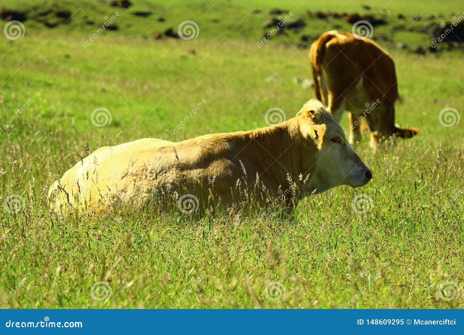 Krowa odpoczywa w ??ce