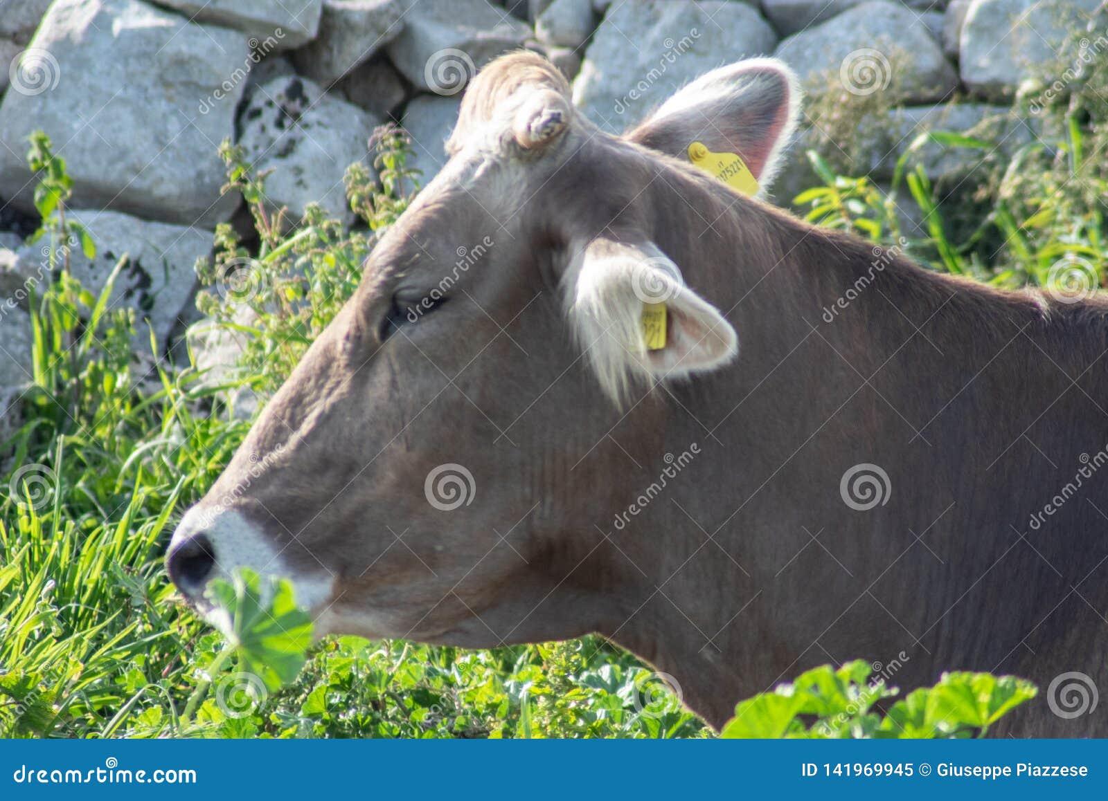Krowa podczas gdy pasający
