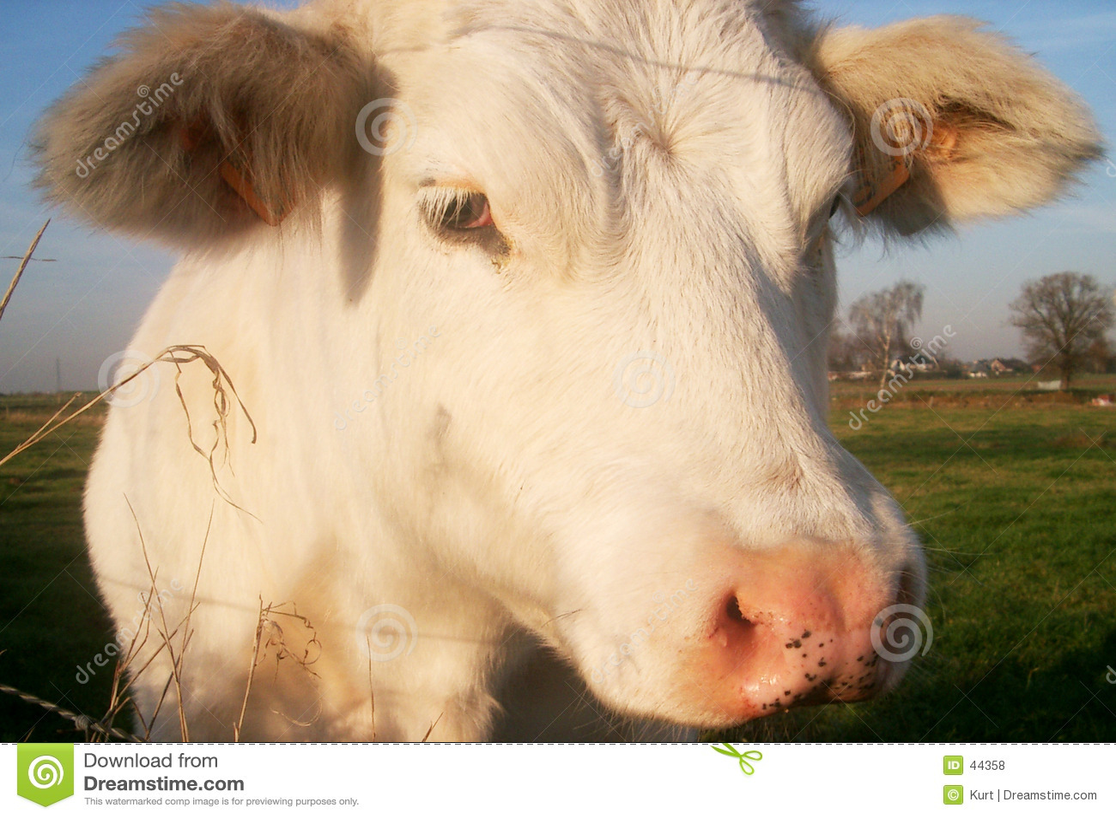 Krowa się blisko