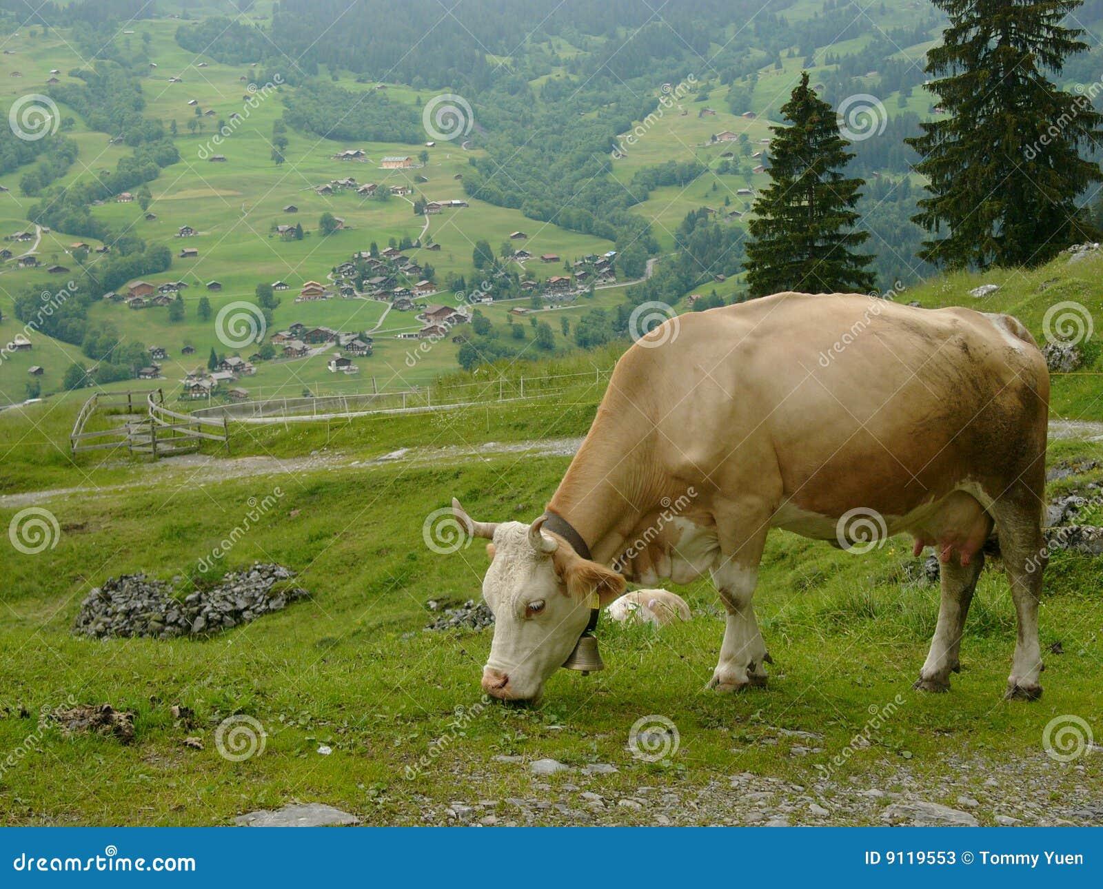 Krowa szwajcar