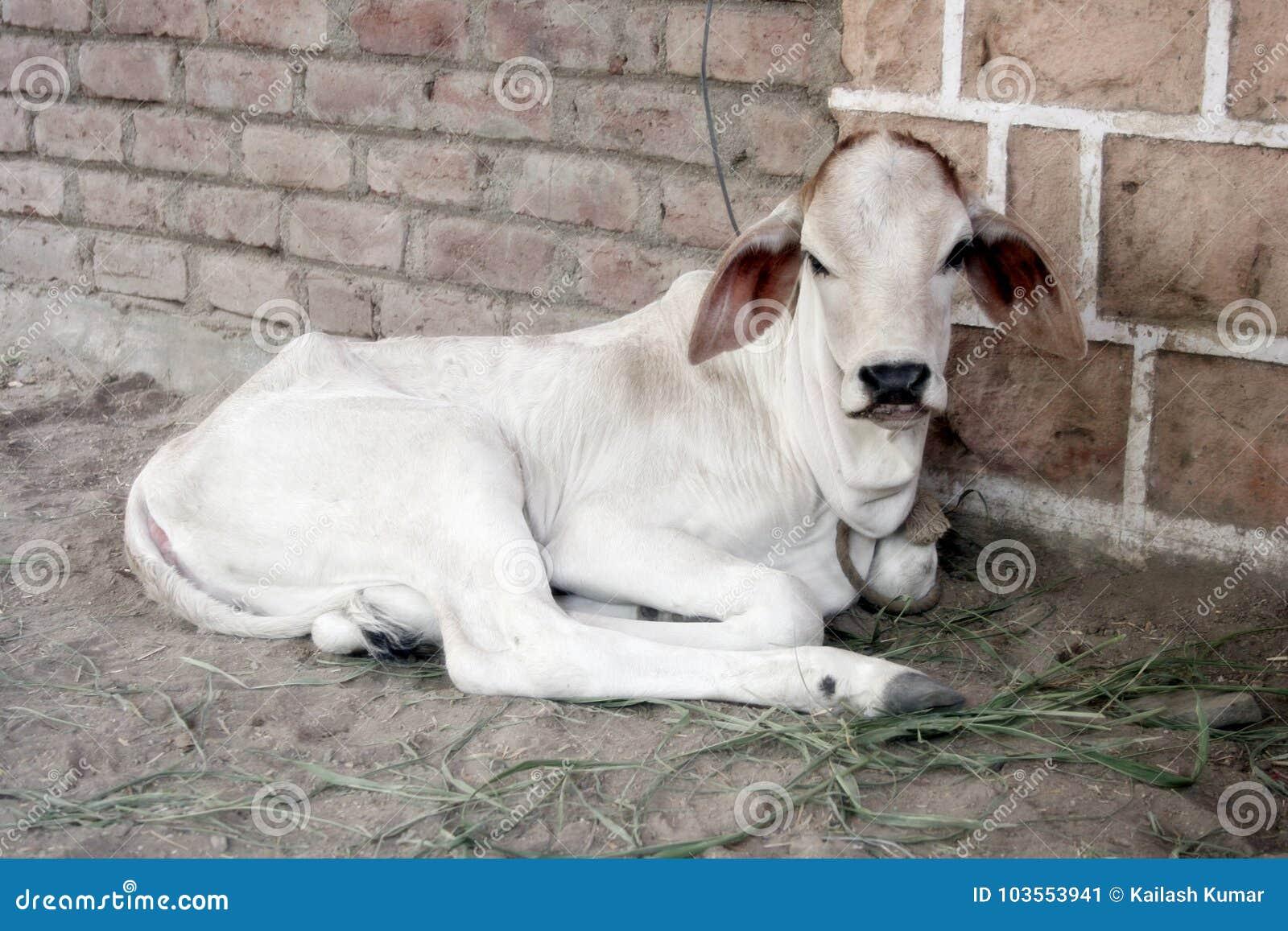 Krowa trochę