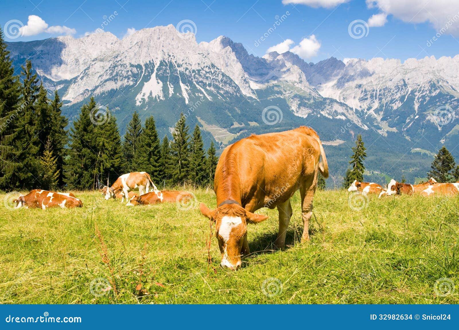 Krowa w Alps