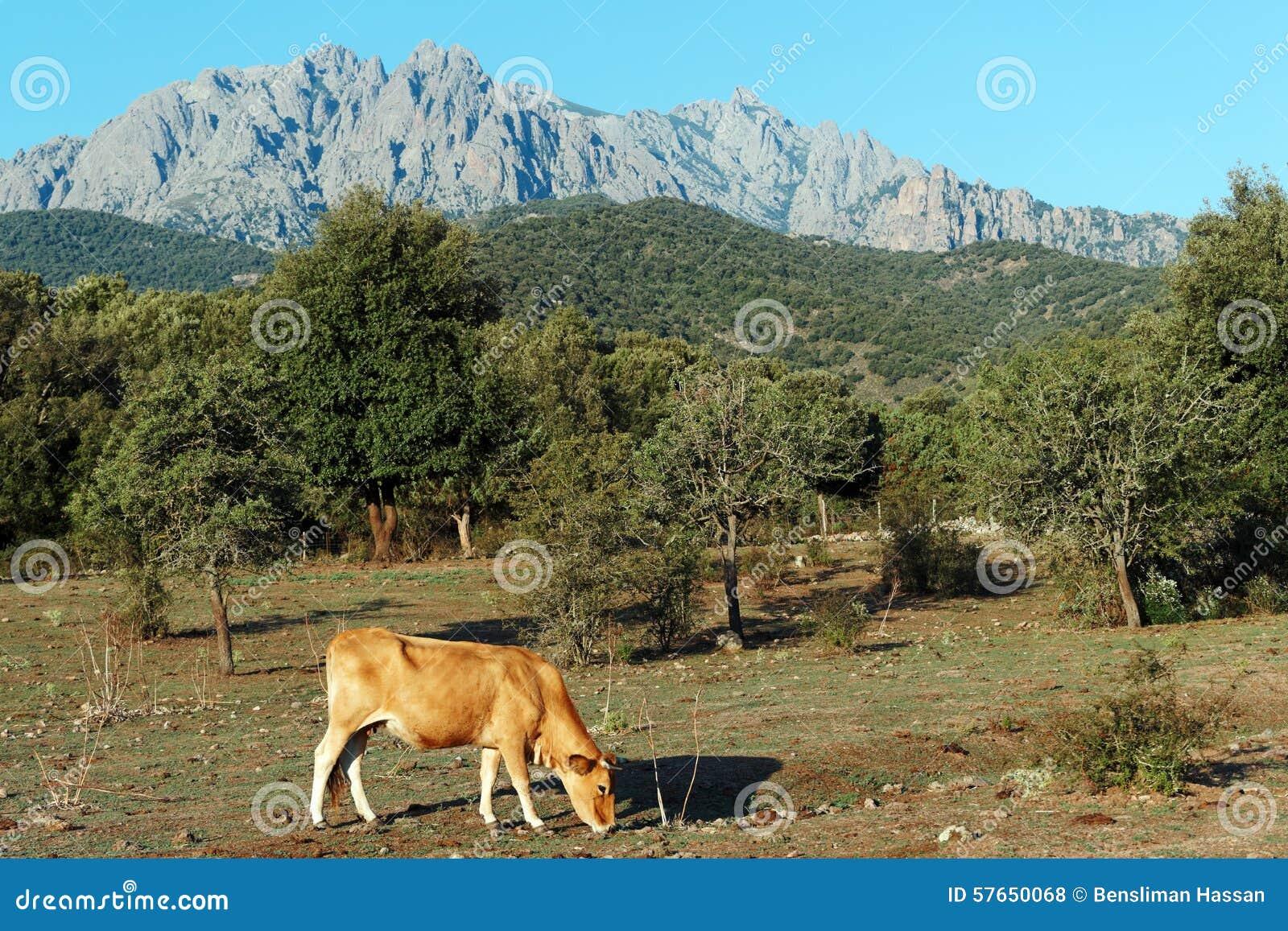 Krowa w Asco górach