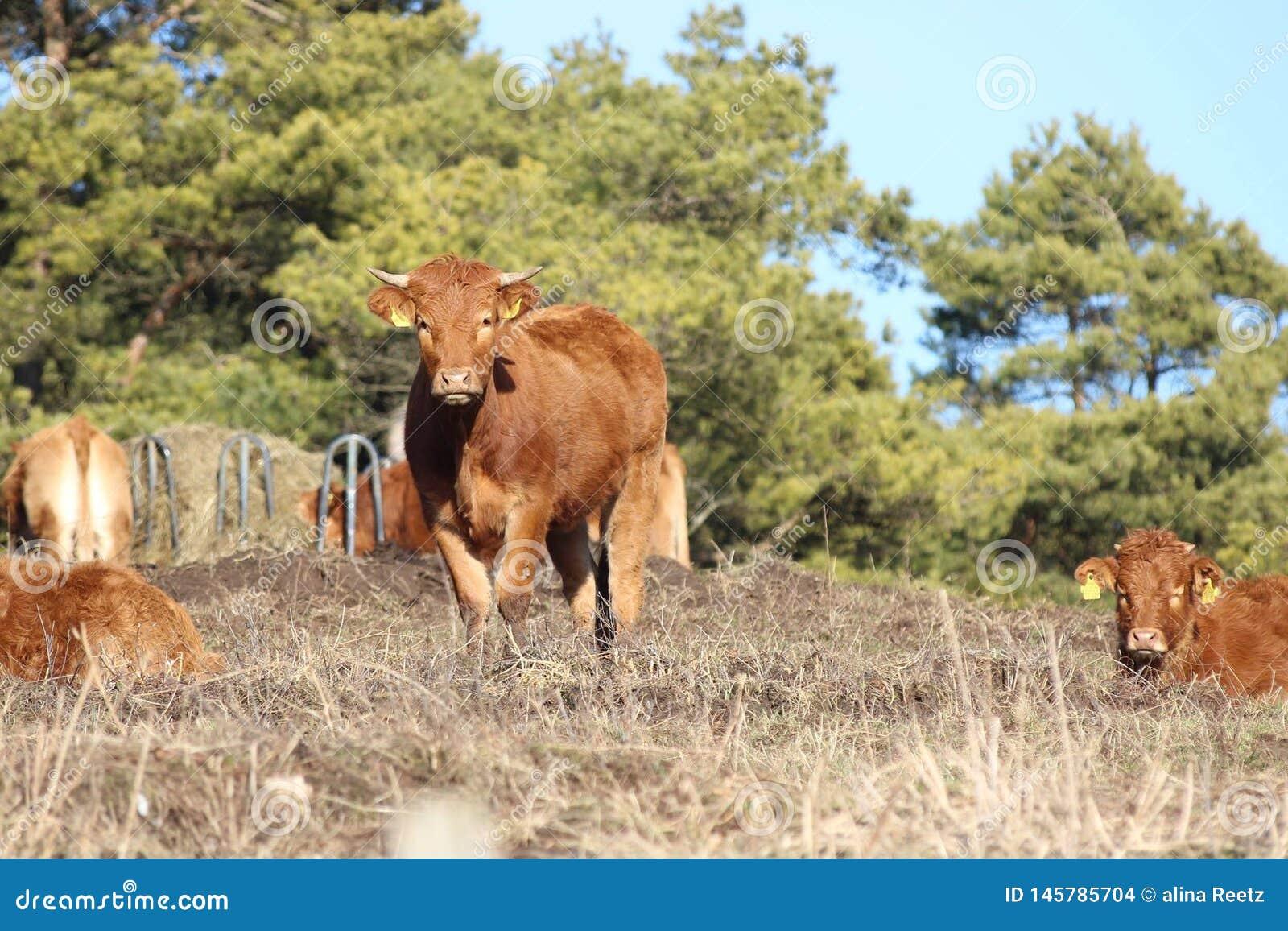 Krowa w naturze