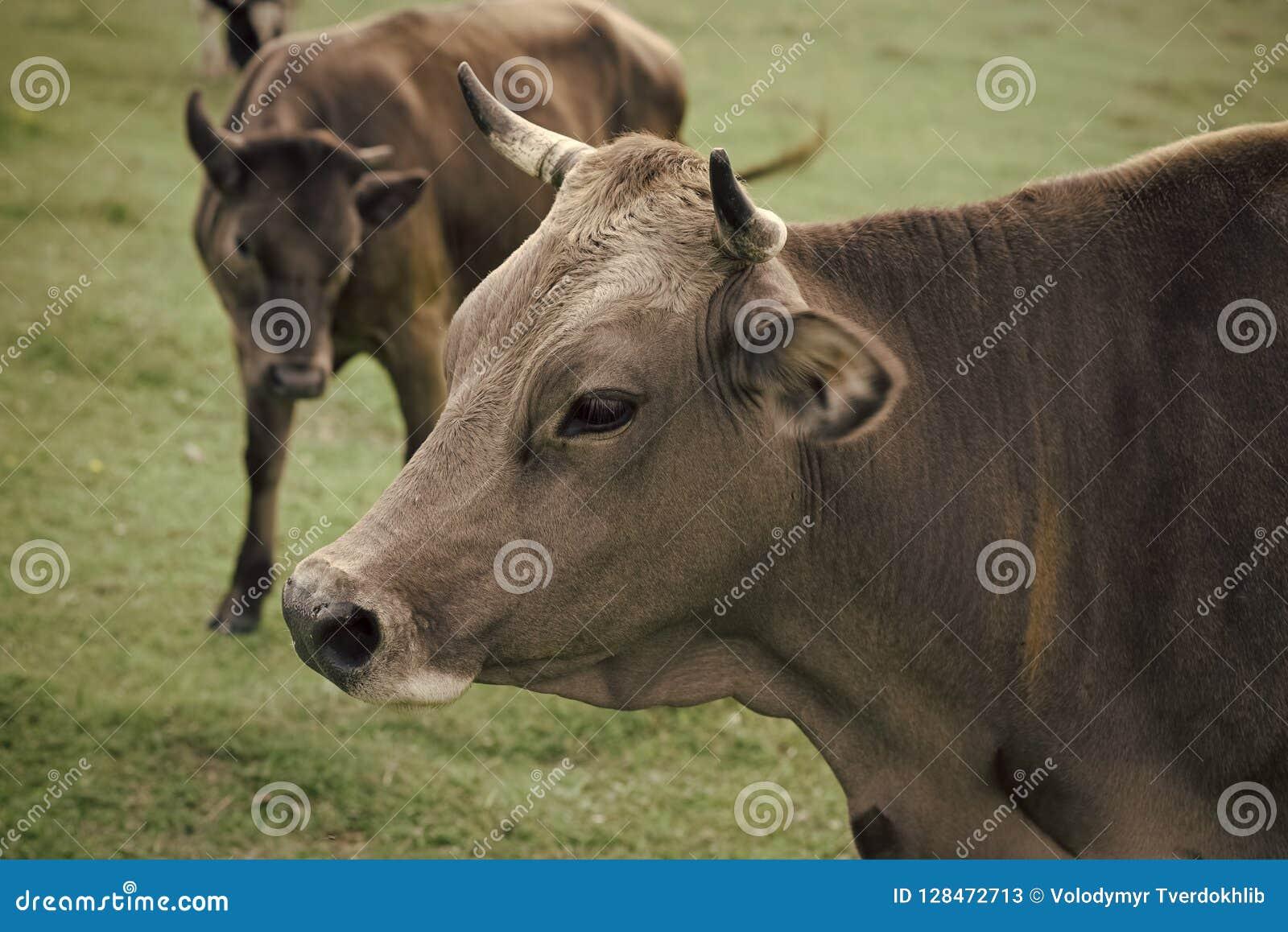 Krowa w wieś paśniku, ekologia