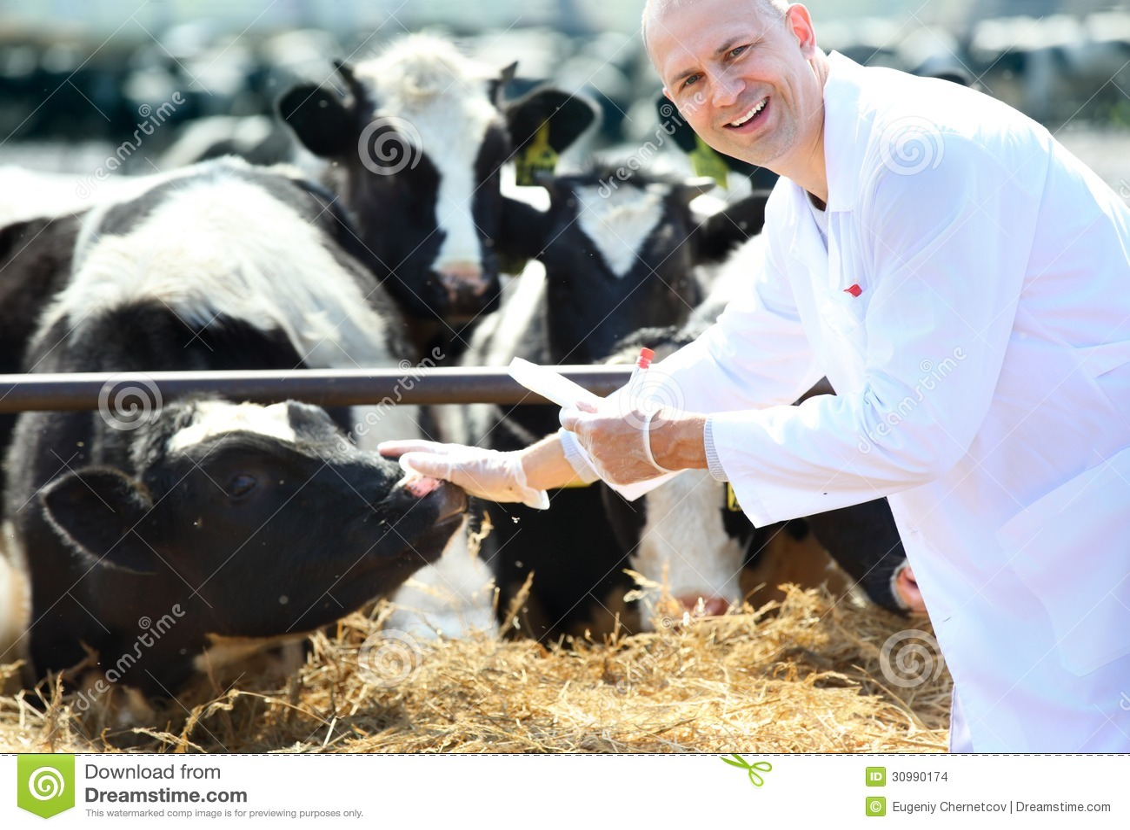 Krowa weterynarz