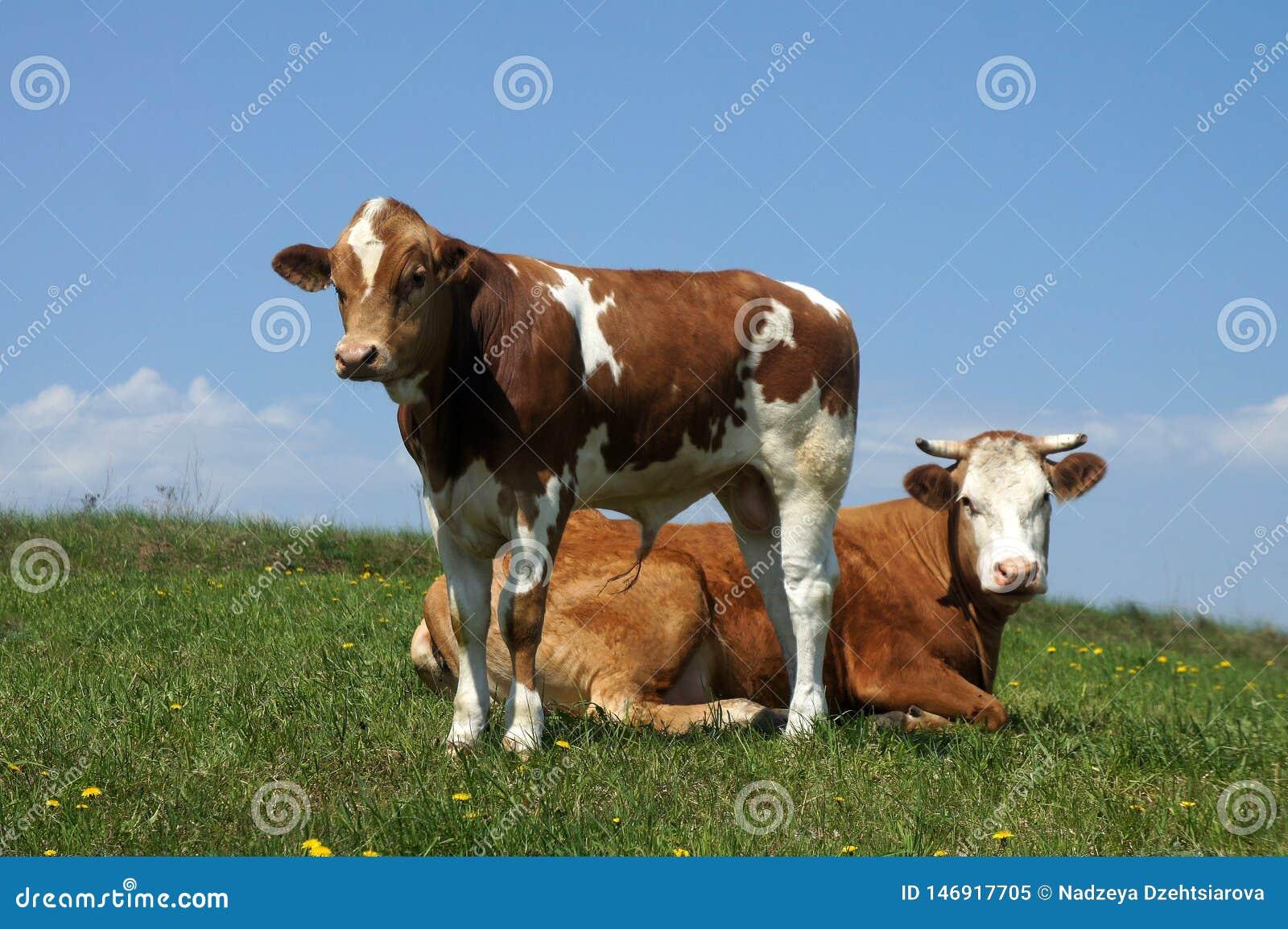 Krowa z łydkowym pasaniem