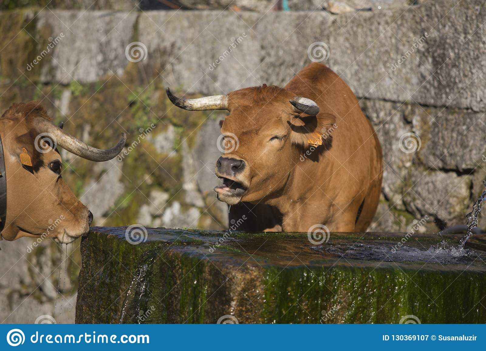 Krowy chodzi w naturze w Portugalia,