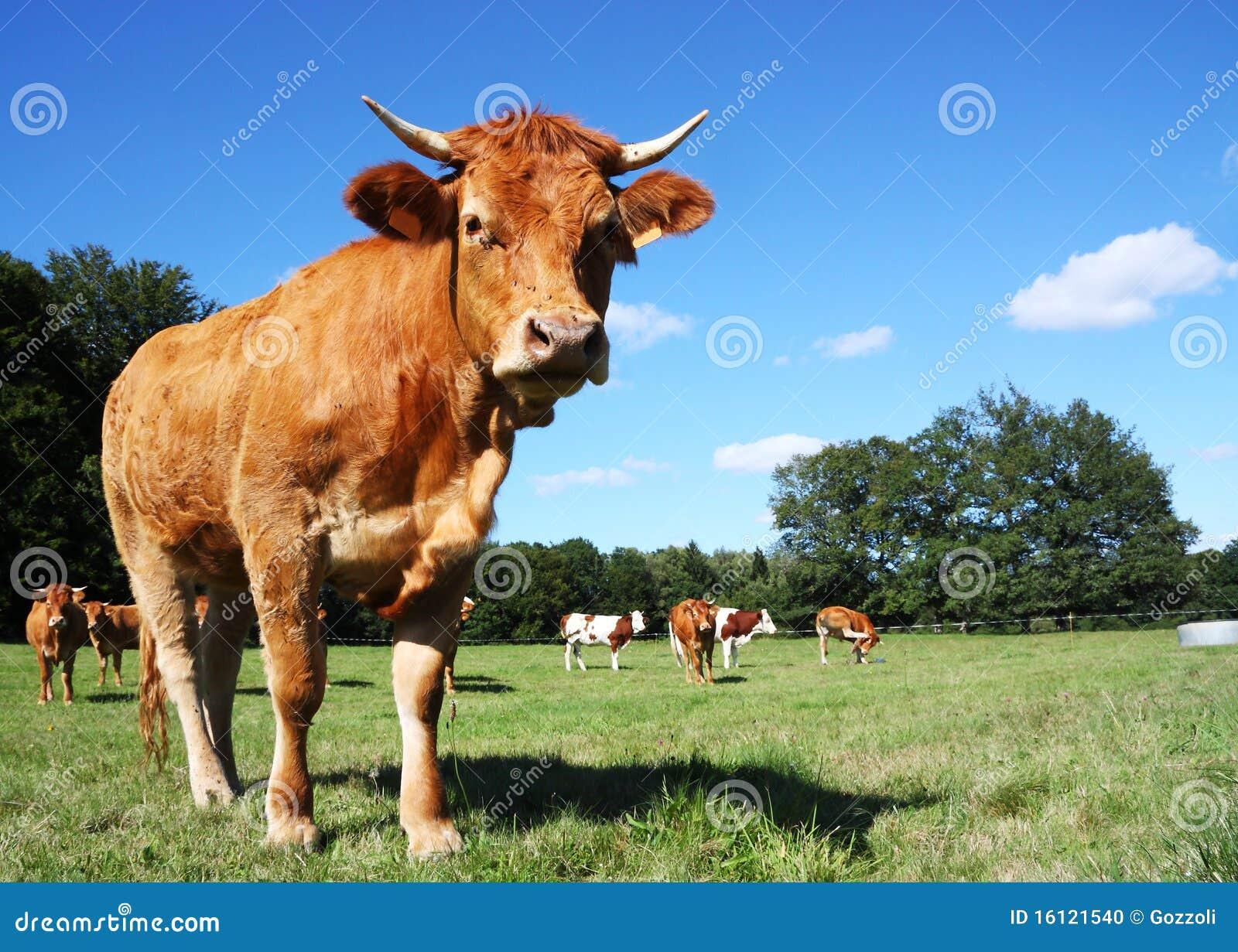 Krowy cielicy Limousin potomstwa