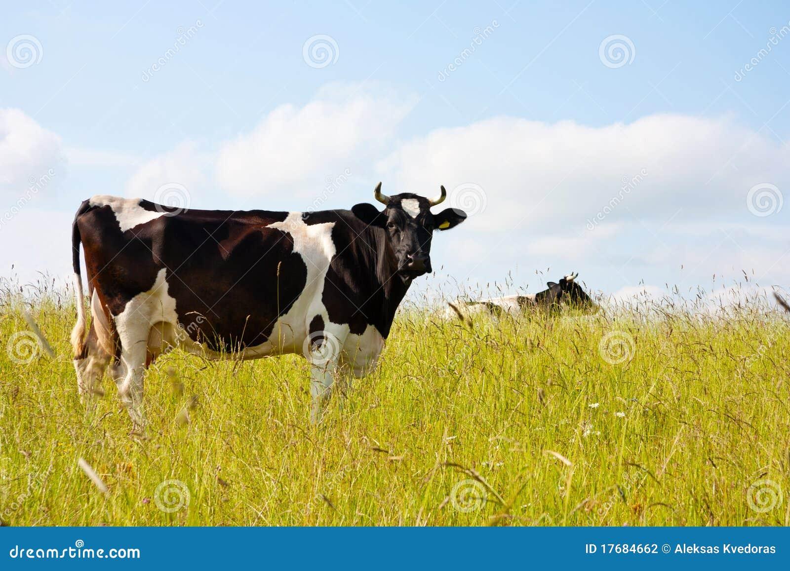 Krowy czarny łąka