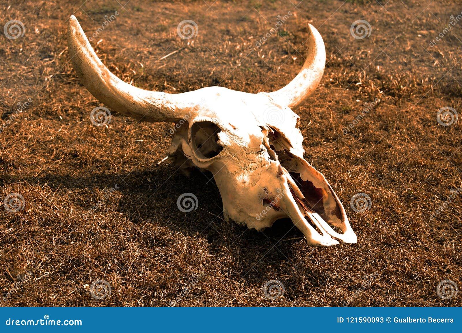 Krowy czaszka na wysuszonym - out trawy depecting śmierć od zmiany klimatu
