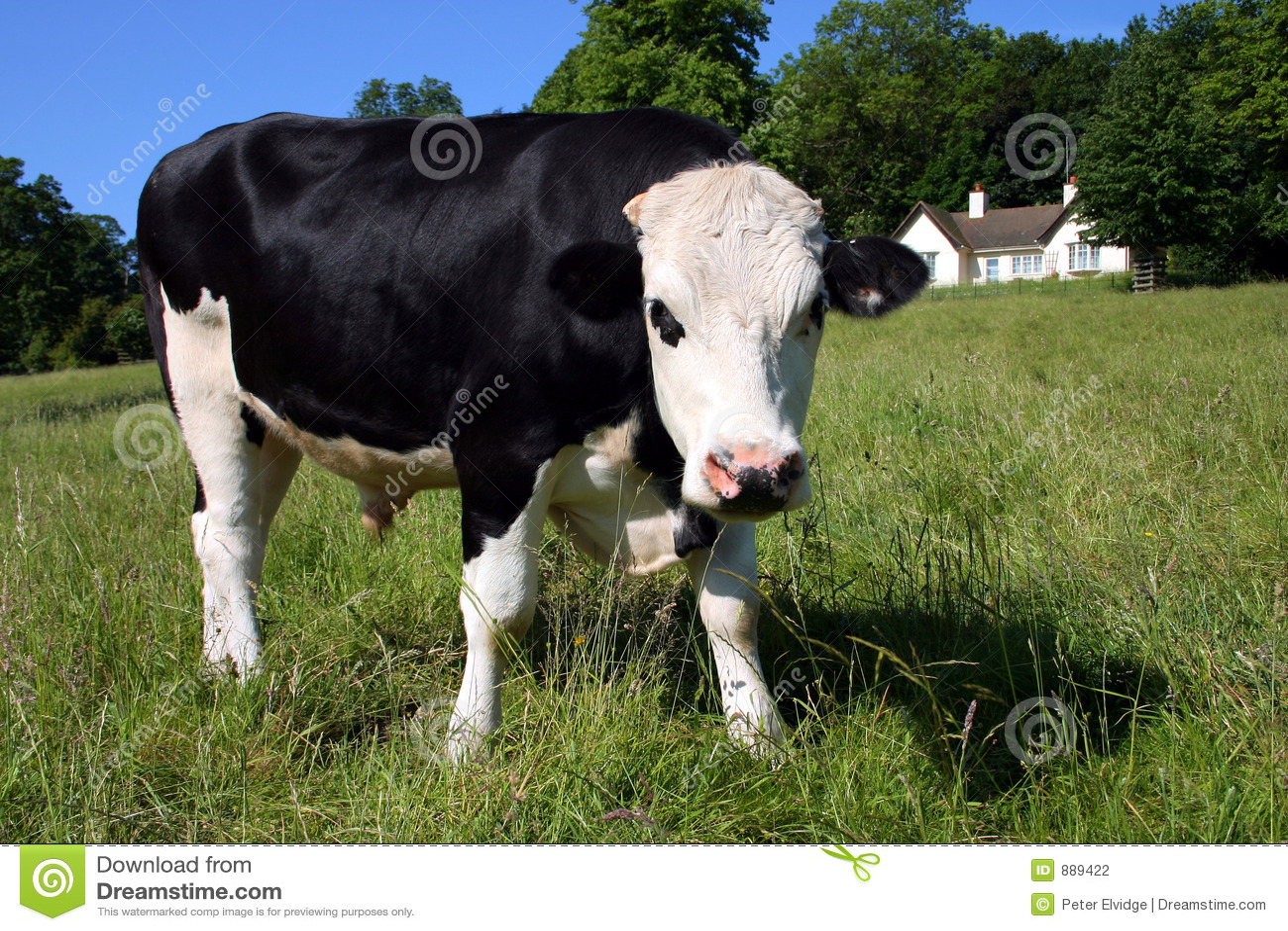 Krowy freisian zielona łąka