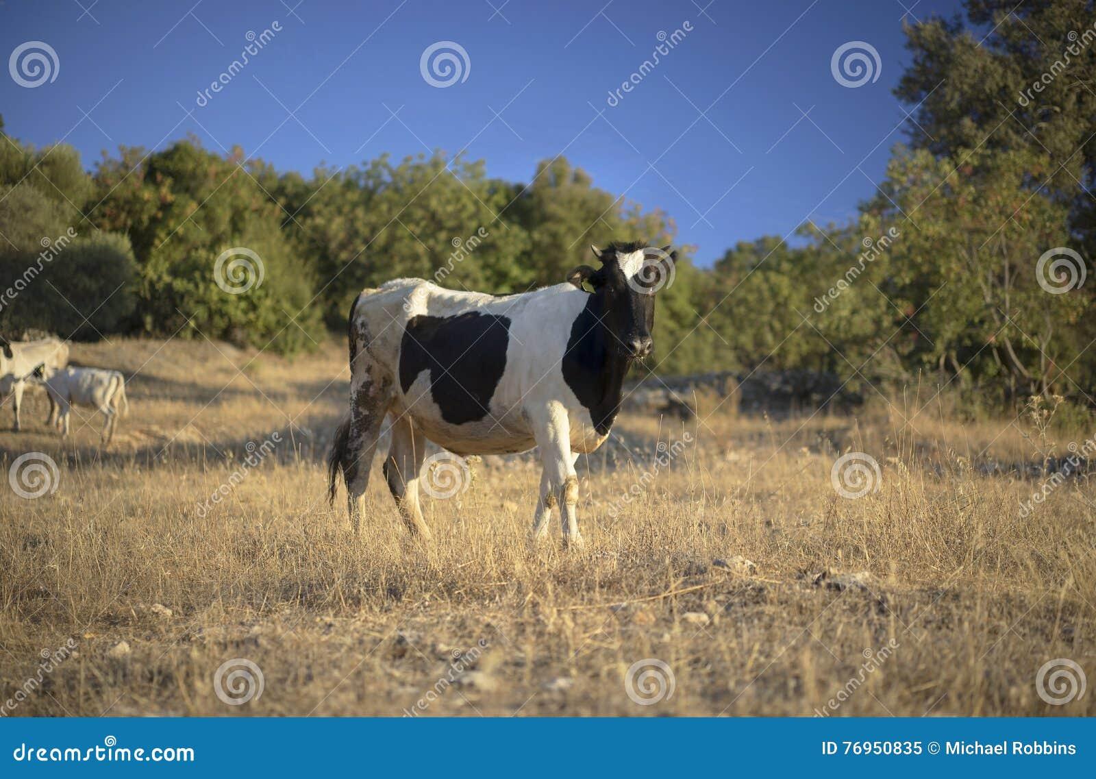 Krowy friesian