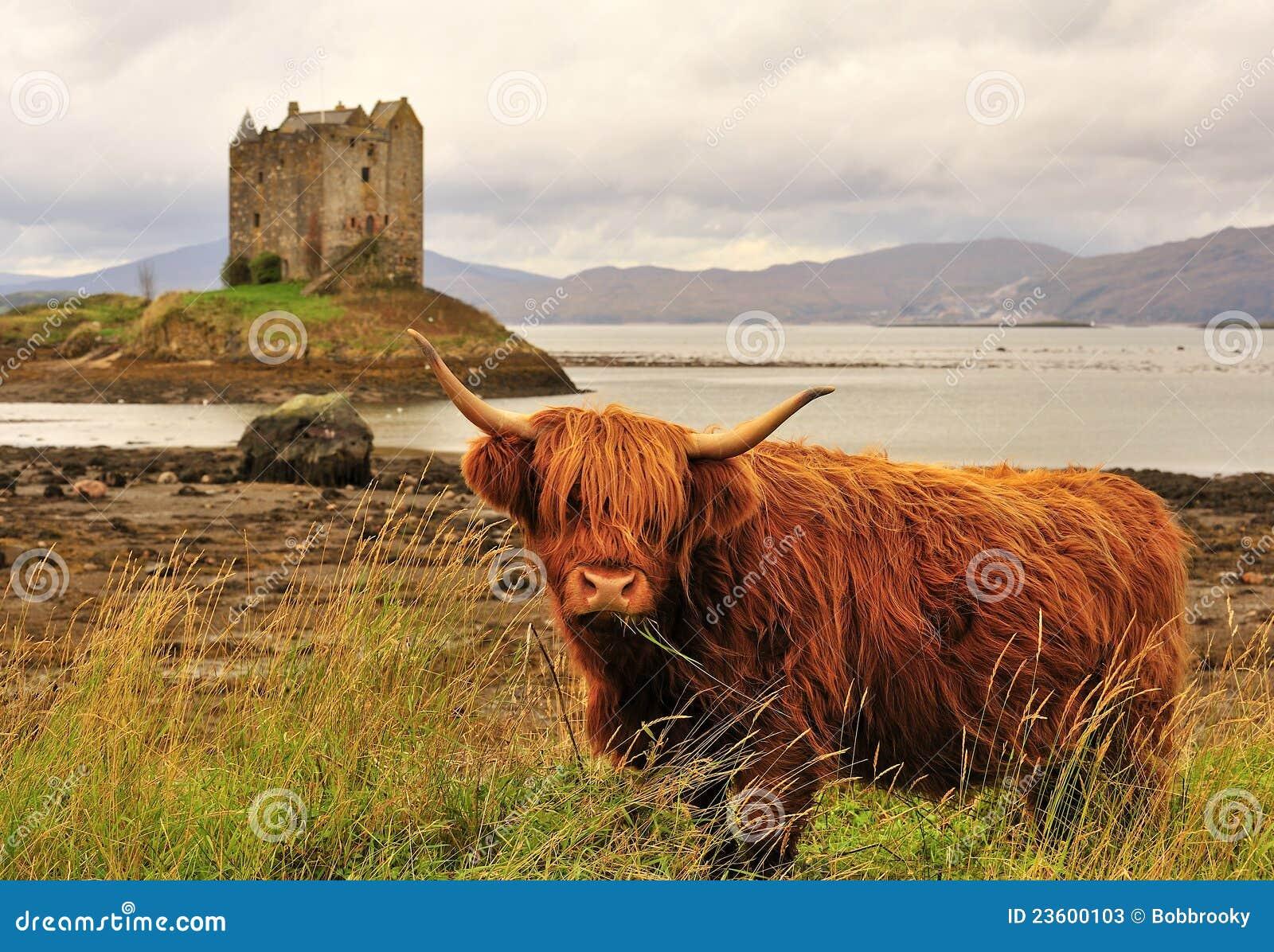Krowy górski linnhe loch Scotland