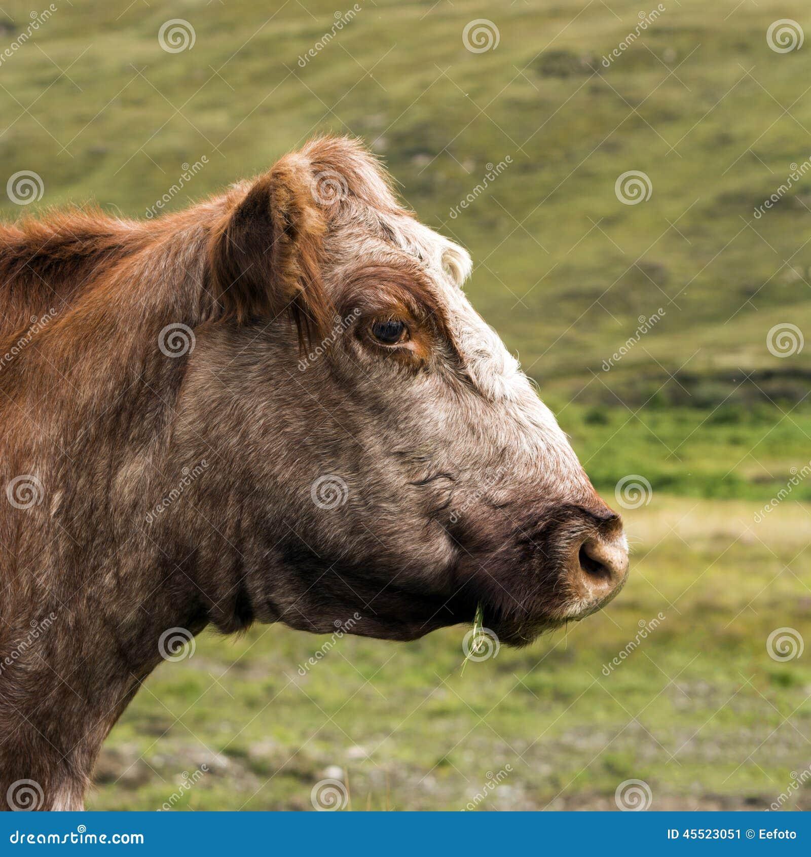 Krowy głowa