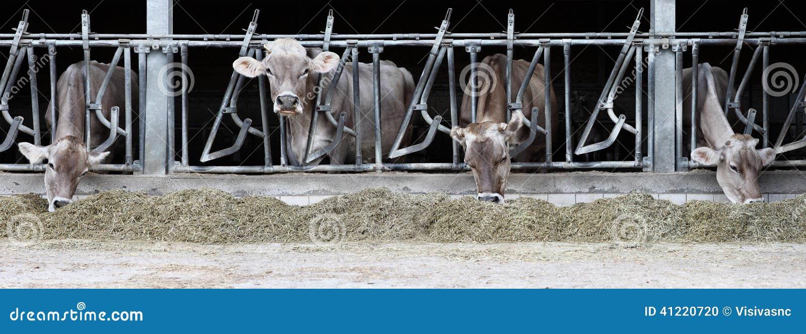 Krowy gospodarstwo rolne