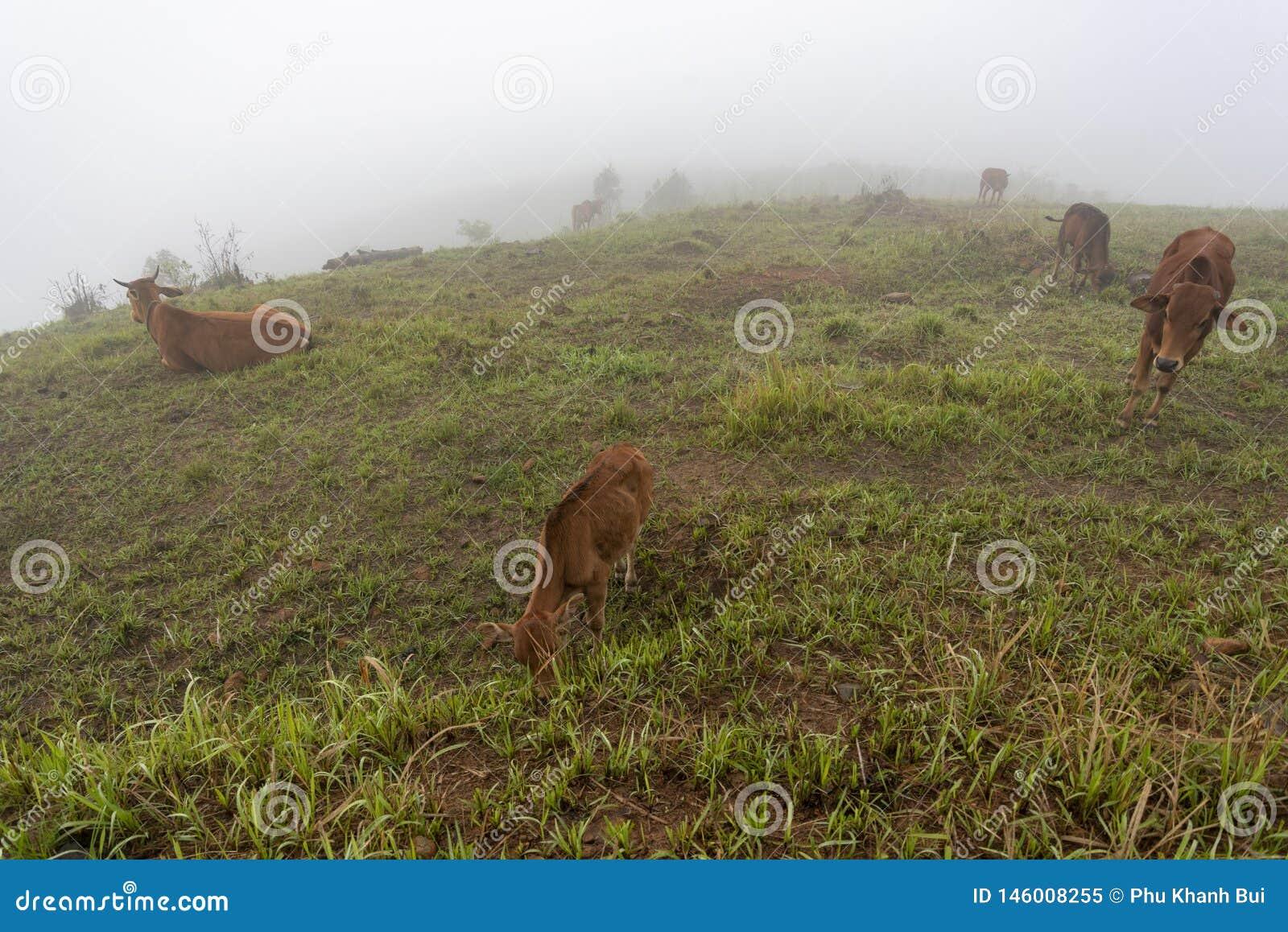 Krowy i łydki na gospodarstwie rolnym z zwartej mgły tłem przy jutrzenkową częścią 26