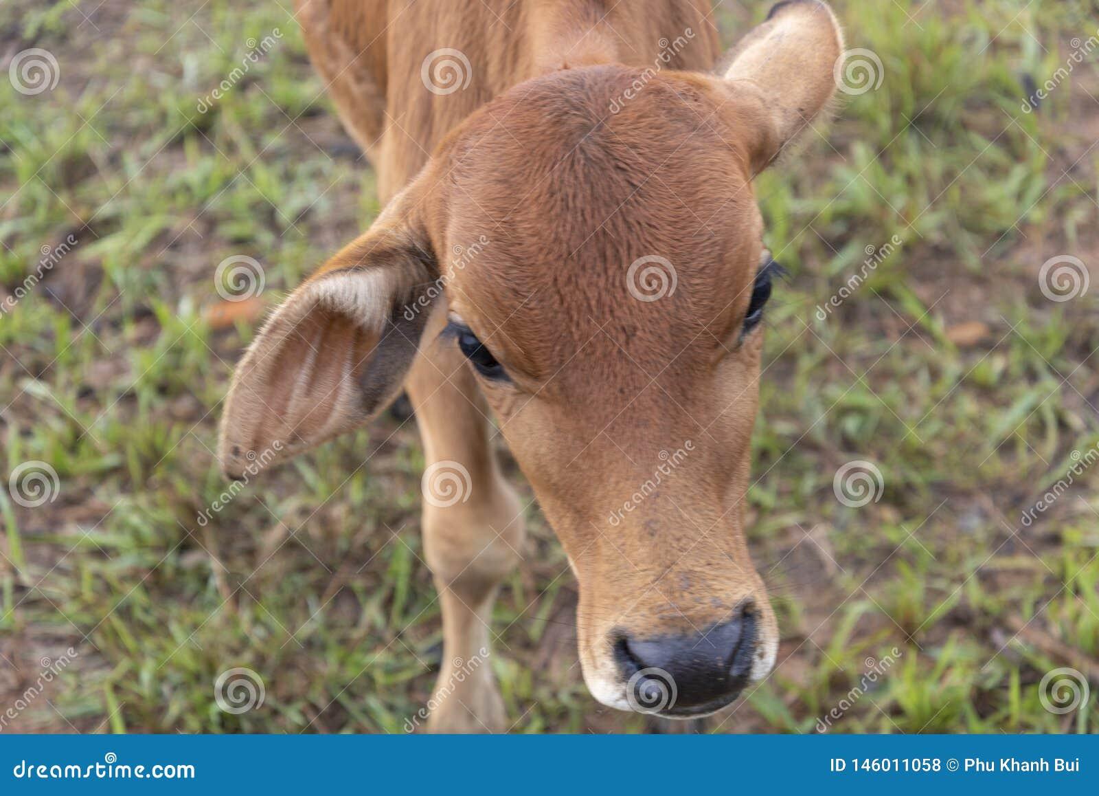Krowy i łydki na gospodarstwie rolnym z zwartej mgły tłem przy jutrzenkową częścią 15