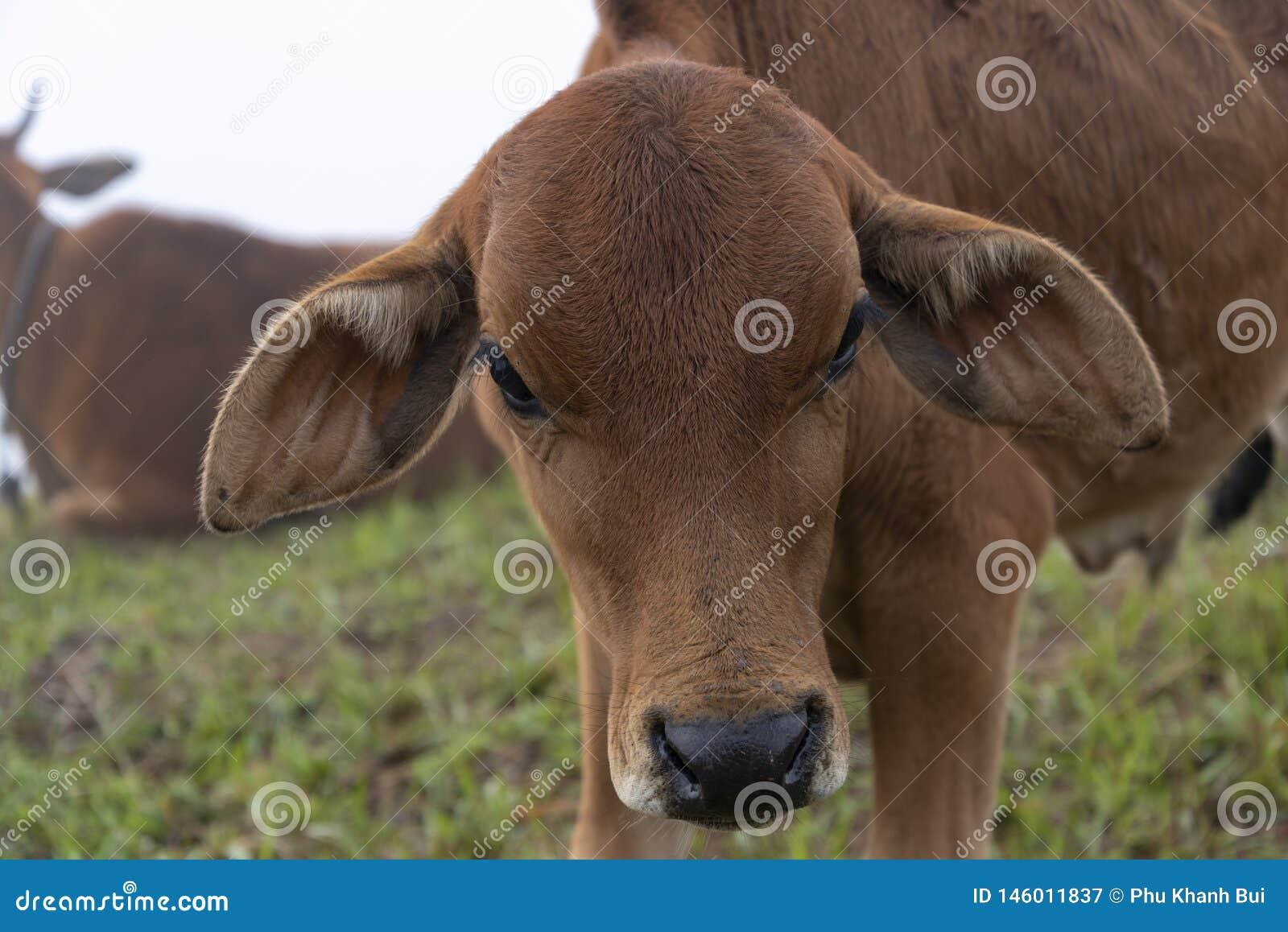 Krowy i łydki na gospodarstwie rolnym z zwartej mgły tłem przy jutrzenkową częścią 12