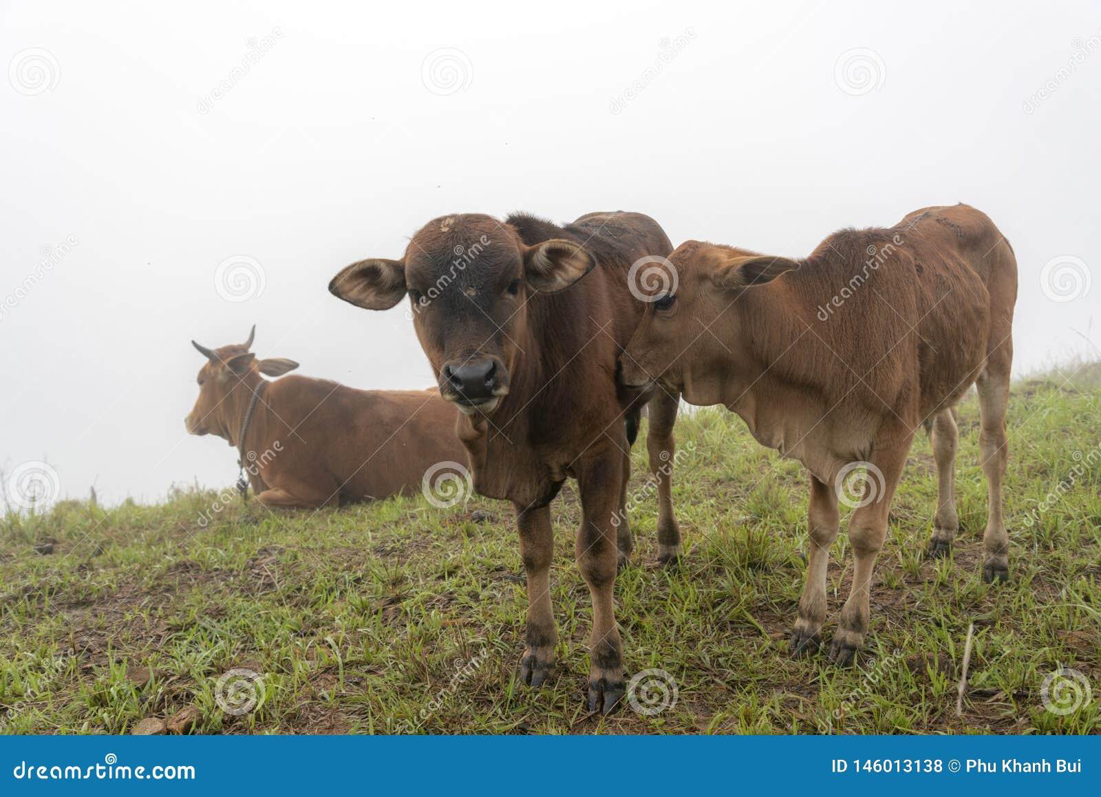 Krowy i łydki na gospodarstwie rolnym z zwartej mgły tłem przy jutrzenkową częścią 3