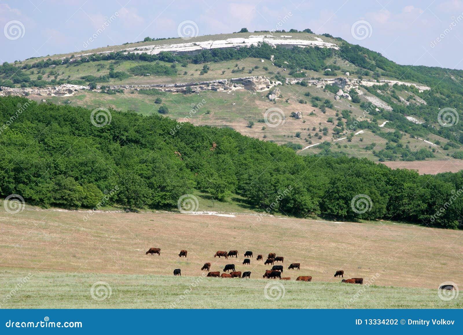 Krowy kształtują teren górę