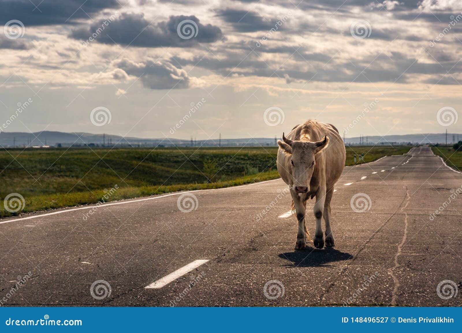 Krowy odprowadzenie na asfaltowej drodze horyzont backlit zmierzchu słońcem w stepie
