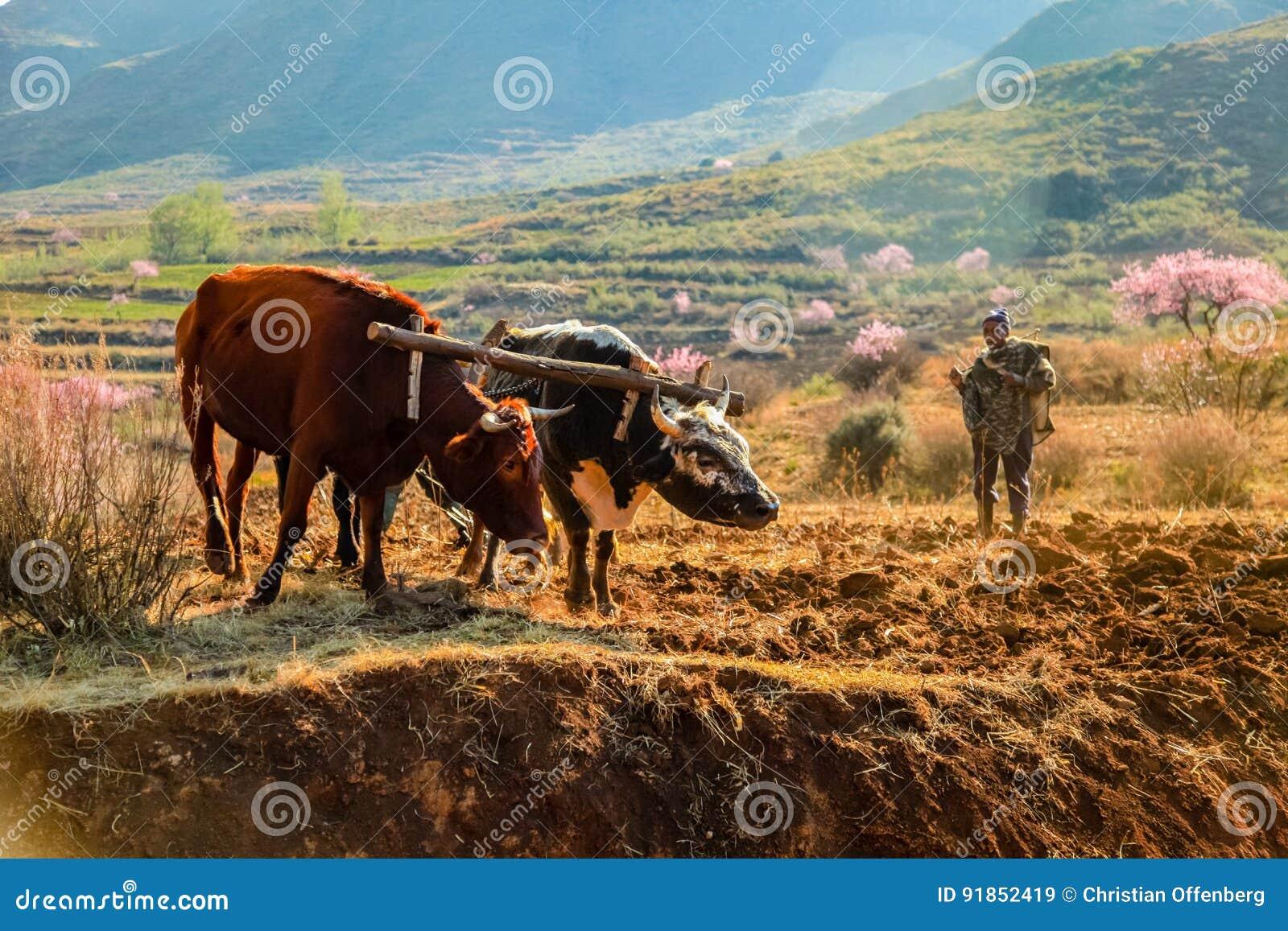 Krowy orze pole w Lesotho