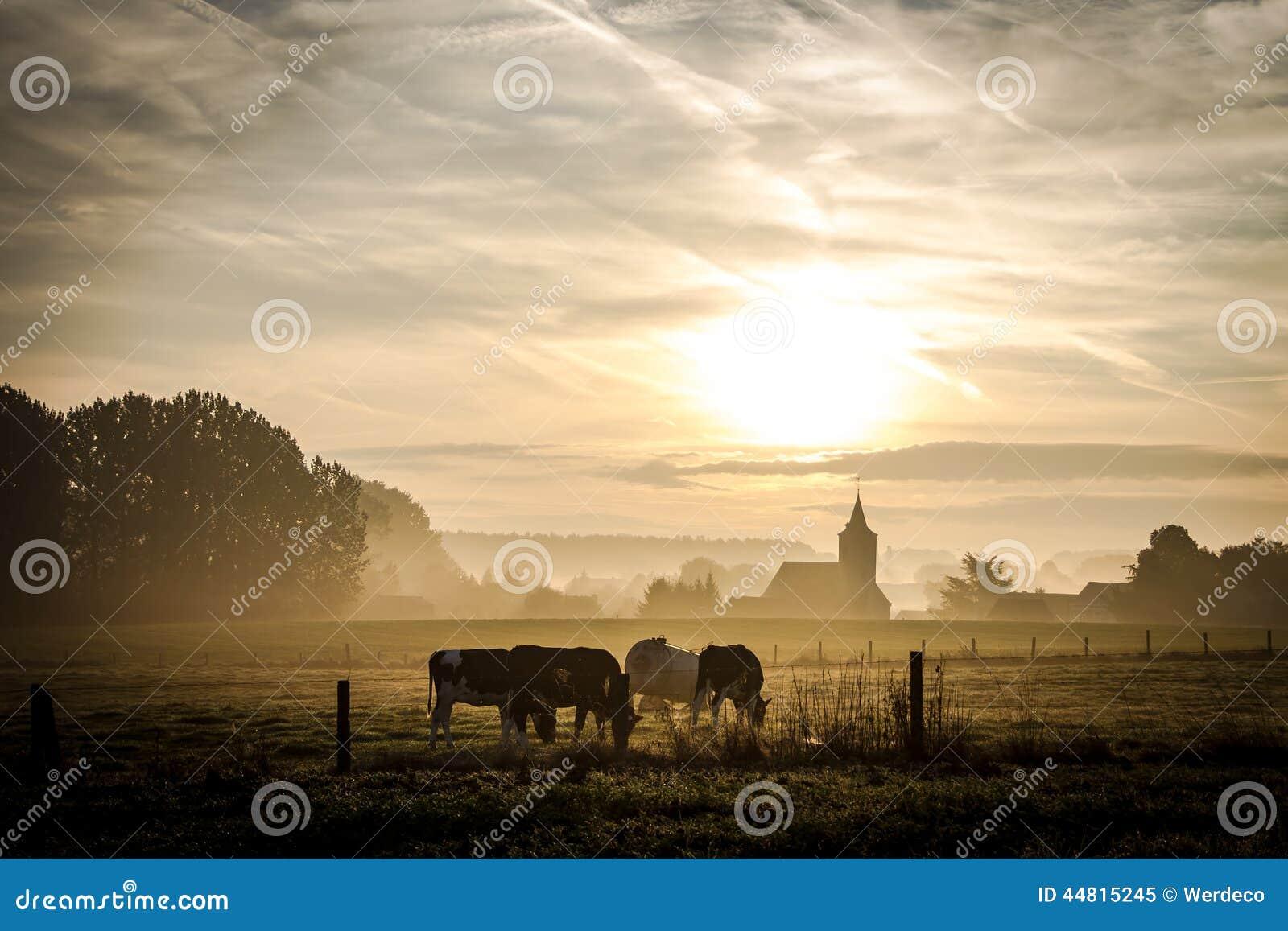 Krowy pasa blisko kościół