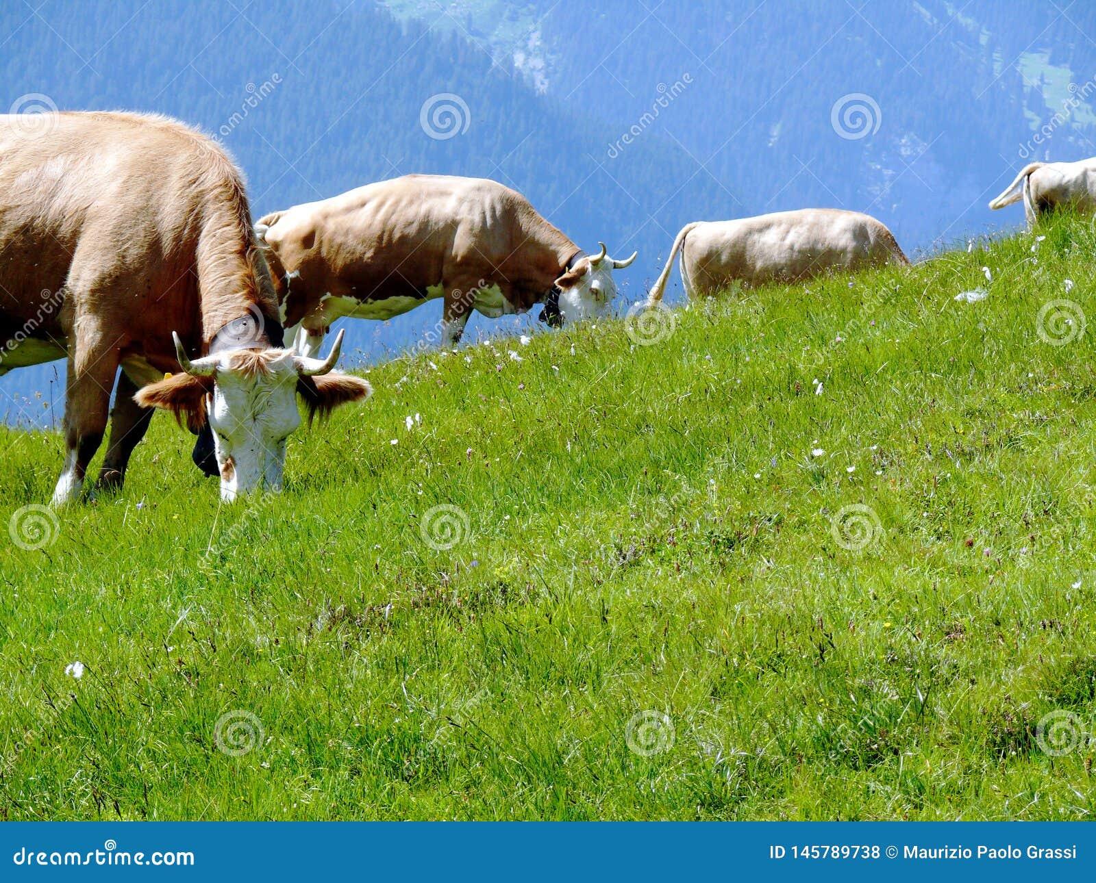 Krowy pasa na zielonym wzg?rzu