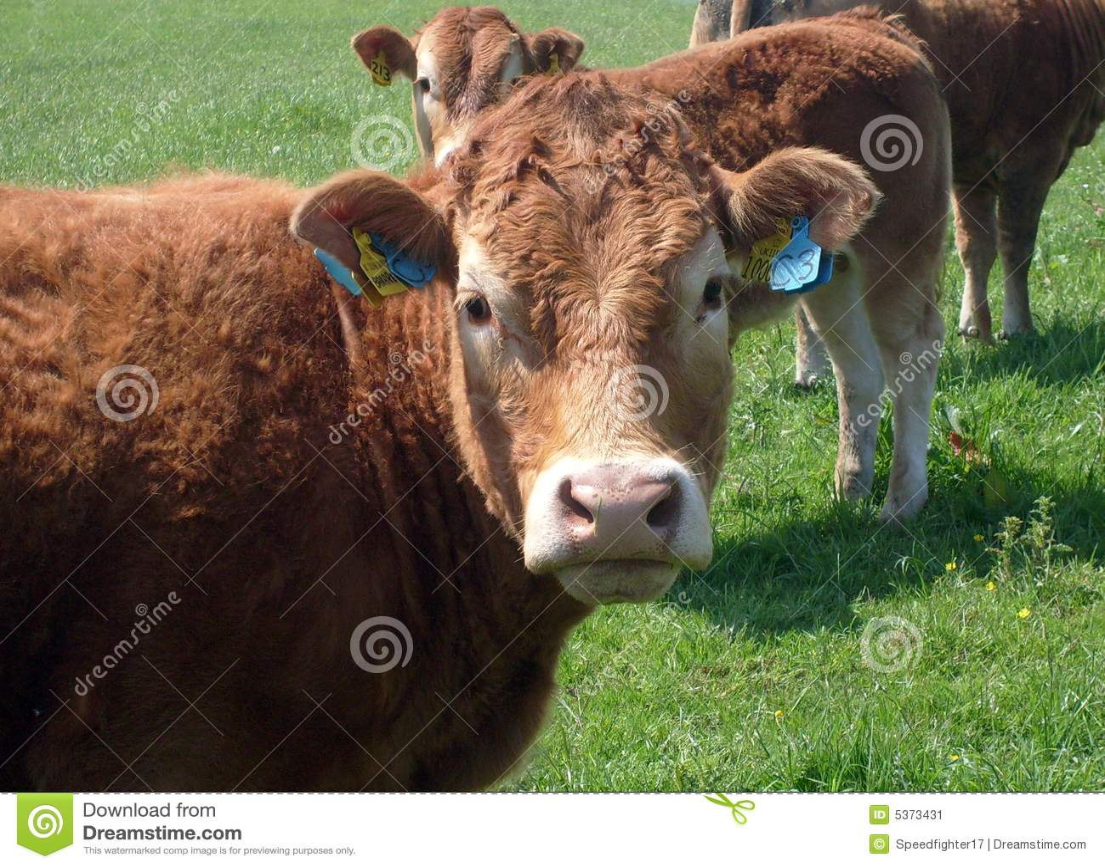 Krowy portret wołowiny