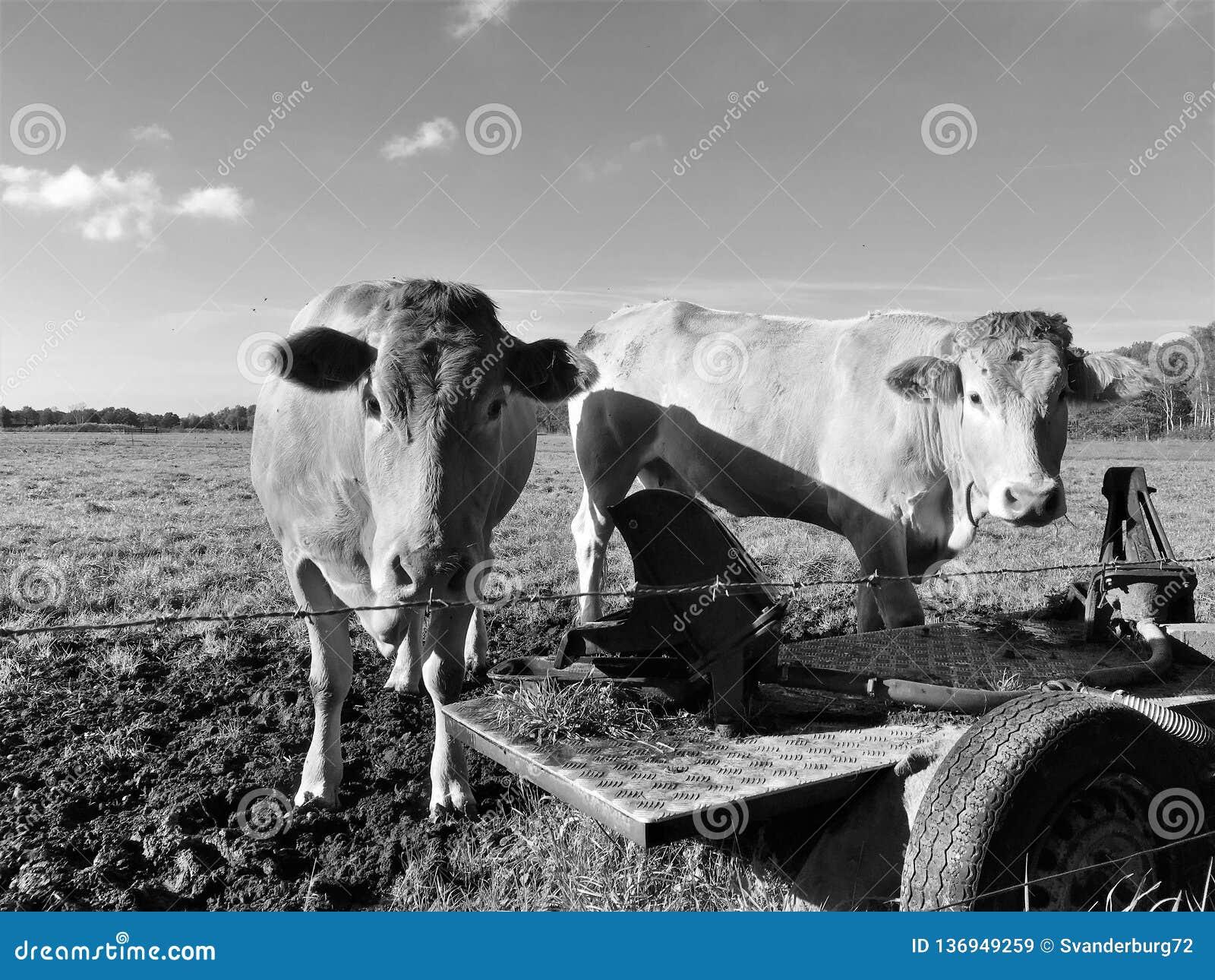 2 krowy stoi w polu w Holandia Europa