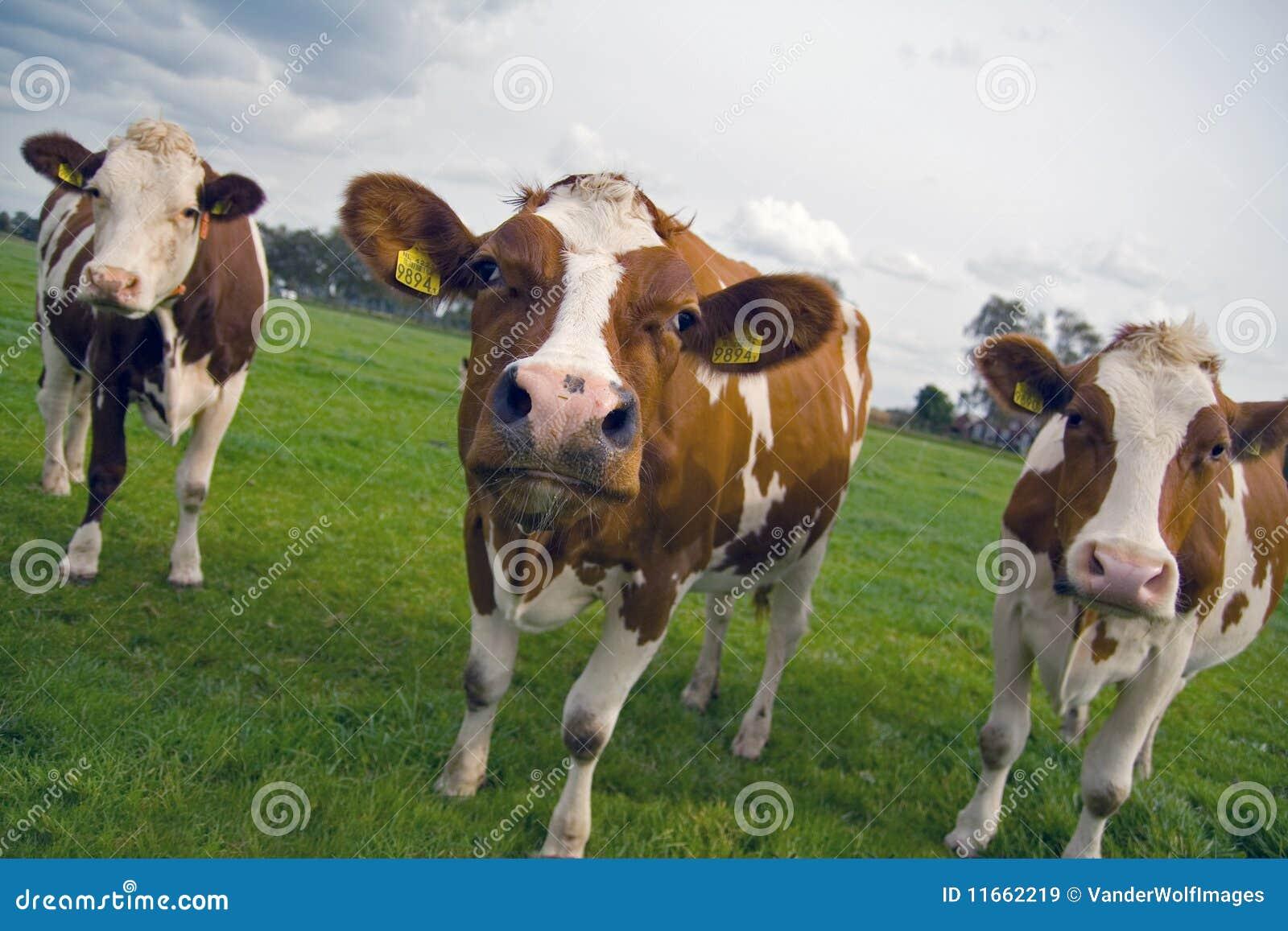 Krowy trzy