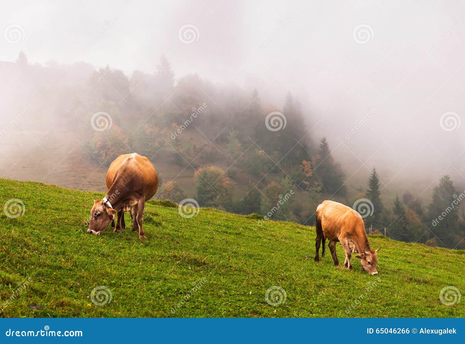 Krowy w alps