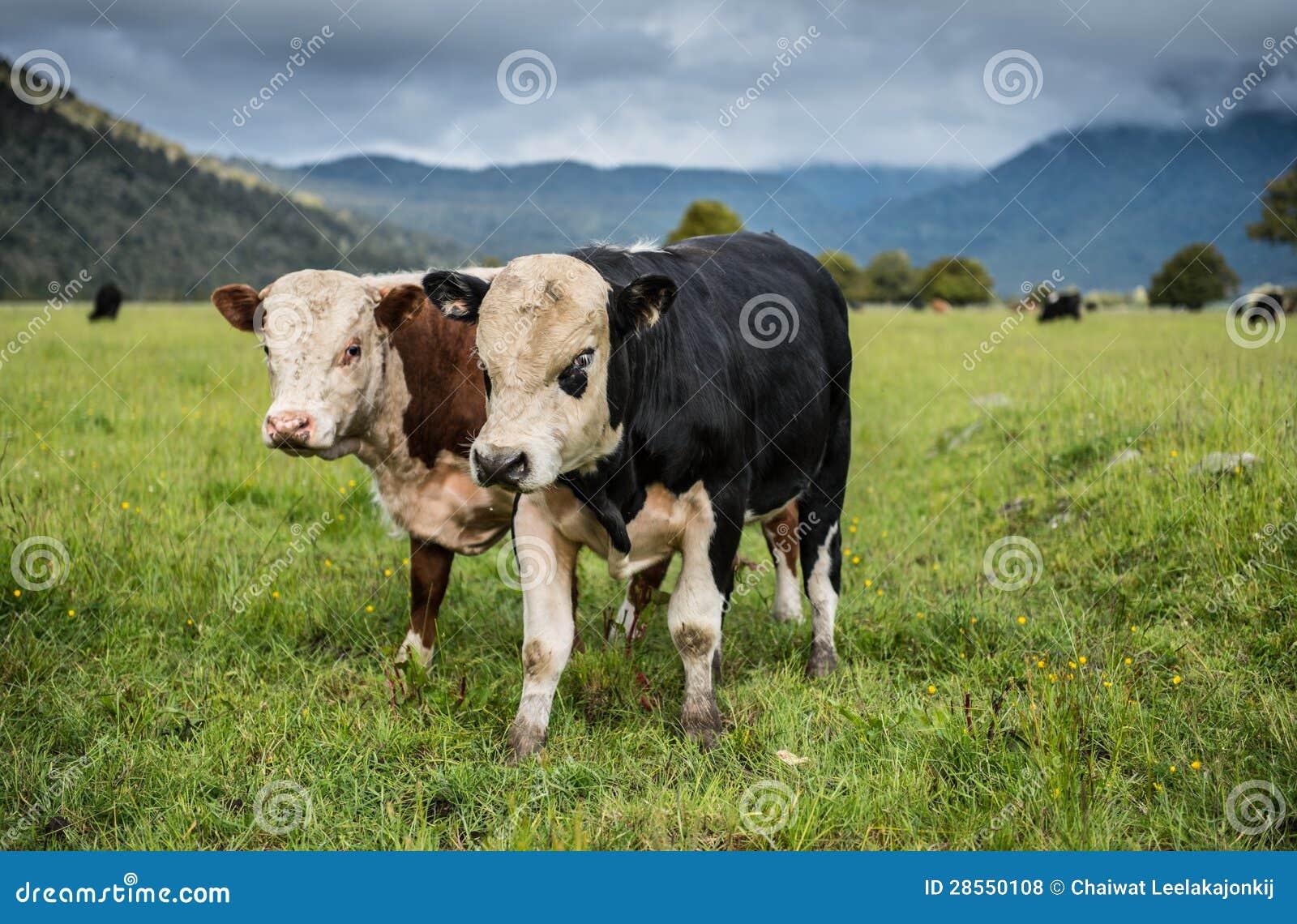 Krowy w Nowa Zelandia.