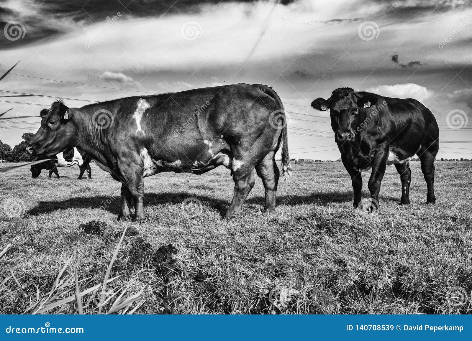 Krowy w paśniku Amsterdam Noord, Nederland
