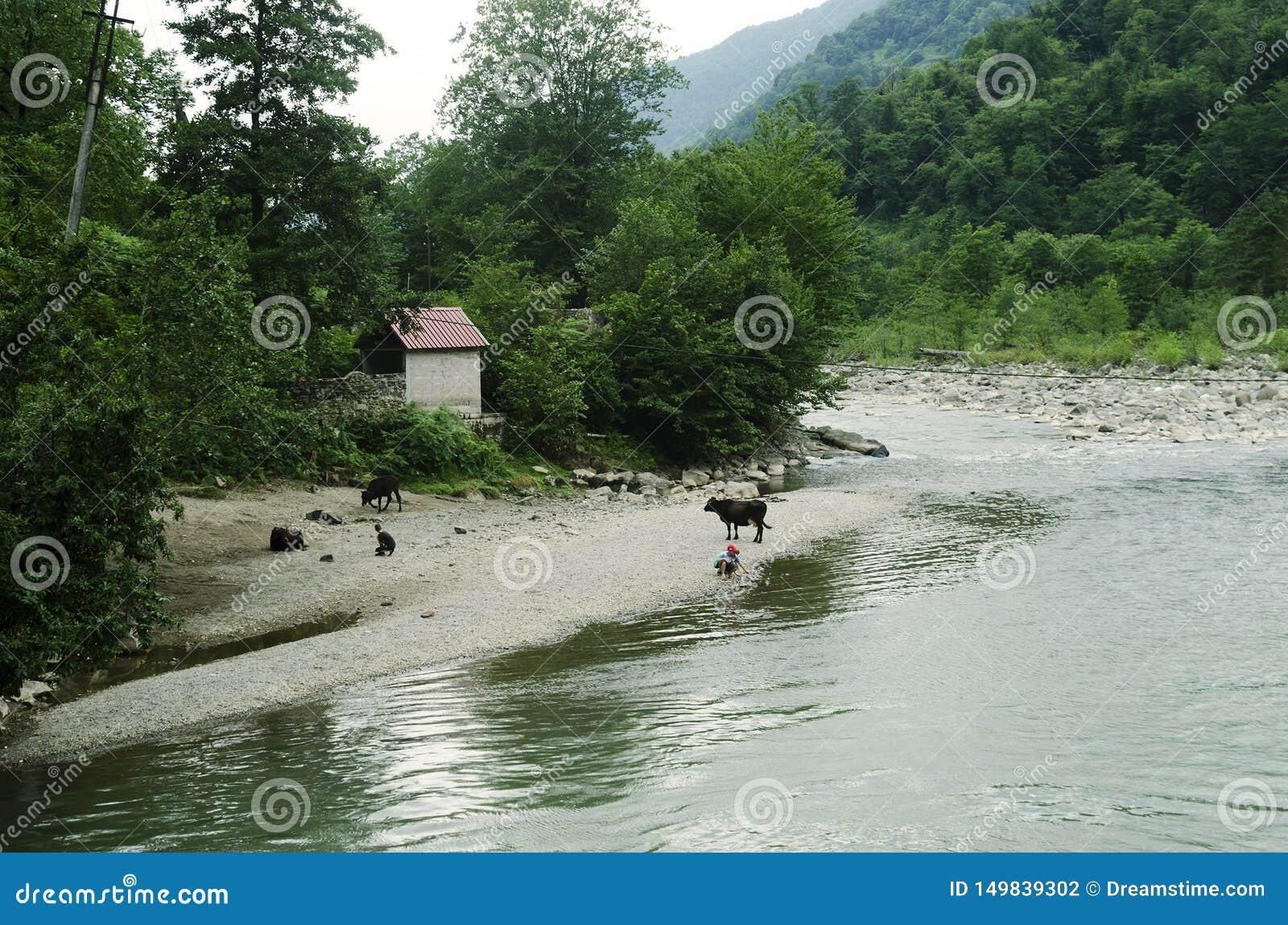 Krowy z bacami pasają na bankach halna rzeka
