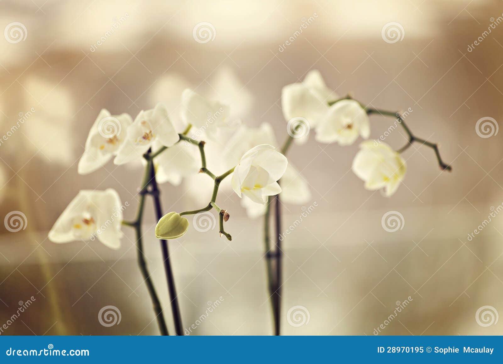Kruche orchidee