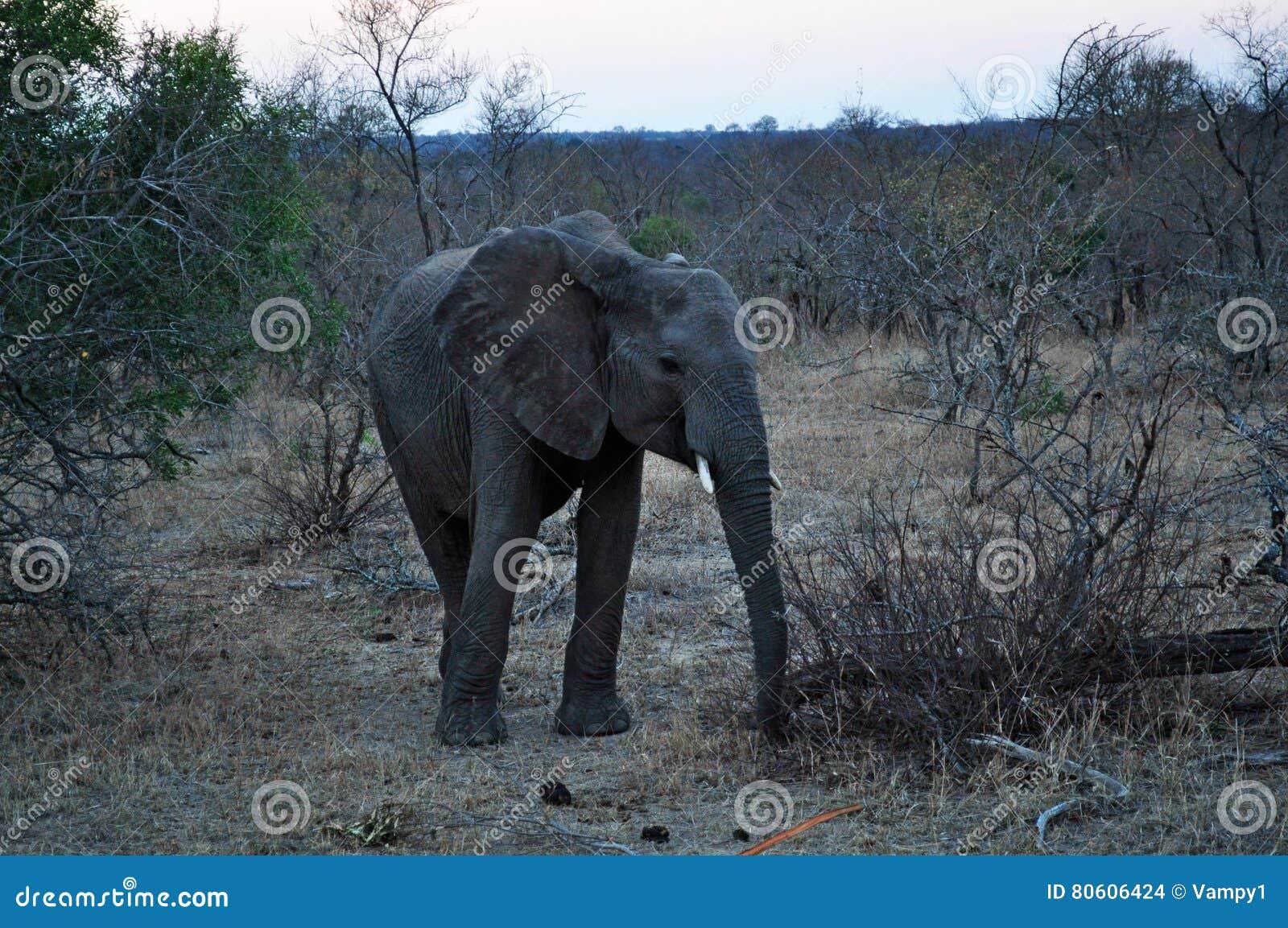 Kruger nationalpark-, Limpopo och Mpumalanga landskap, Sydafrika