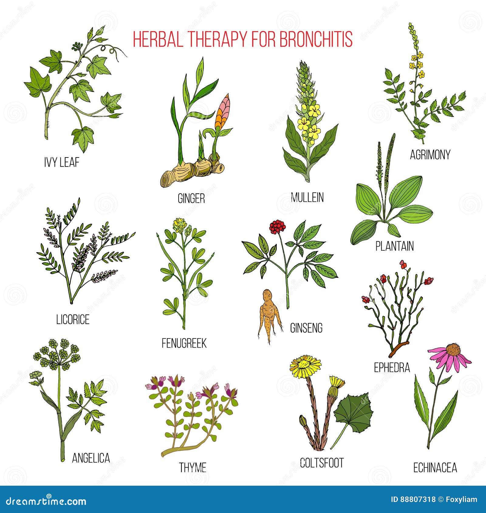Kruidentherapie voor bronchitisklimop, agrimony gember, mullein, zoethout, fenegriek, ginseng, ephedra, weegbree, engelwortel