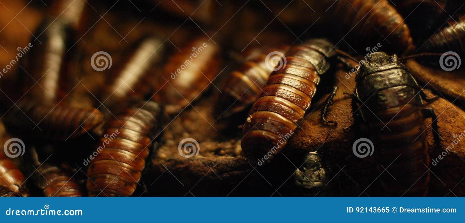 Kruipende kakkerlakken