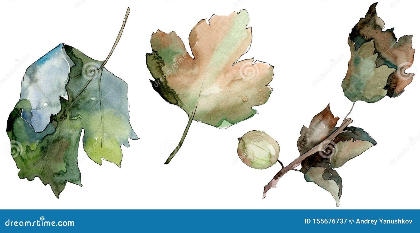 Kruisbes gezond voedsel in een geïsoleerde waterverfstijl Watercolour achtergrondreeks Het ge?soleerde element van de bessenillus