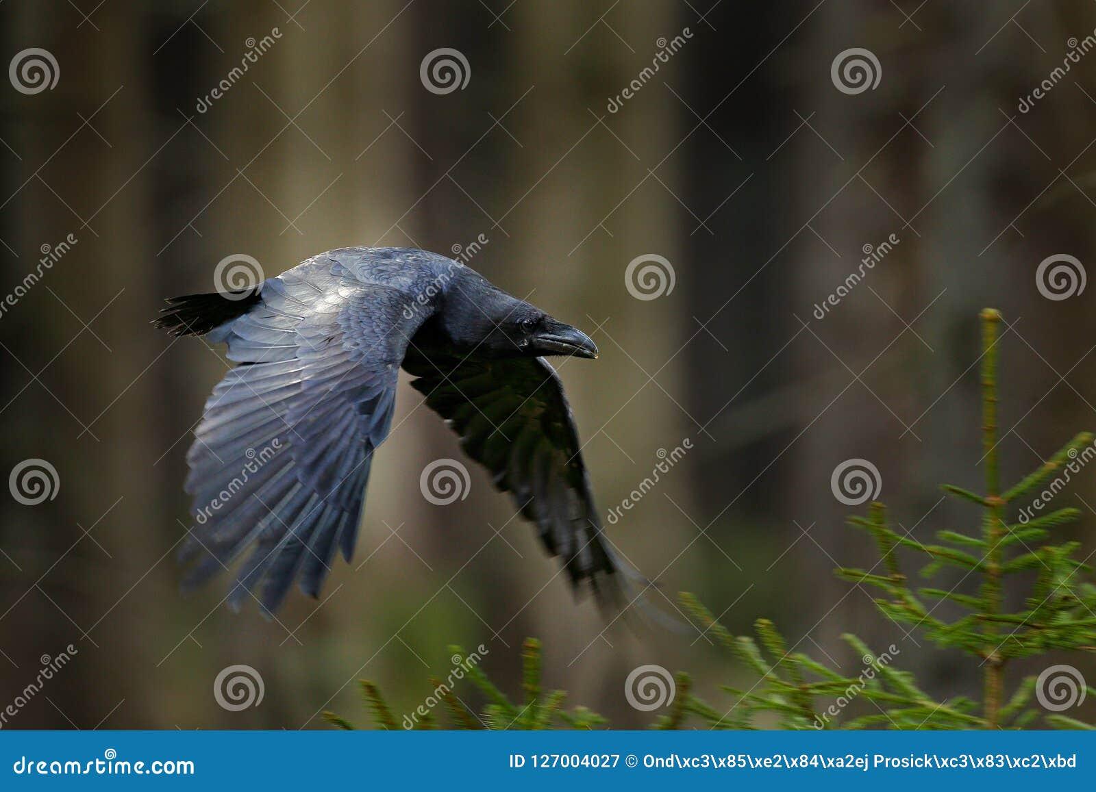 Kruk w locie, Szwecja Ptak w zielonym lasowym siedlisku Przyrody scena od natury Czarny ptasi kruk w komarnicie, zwierzęcy zachow