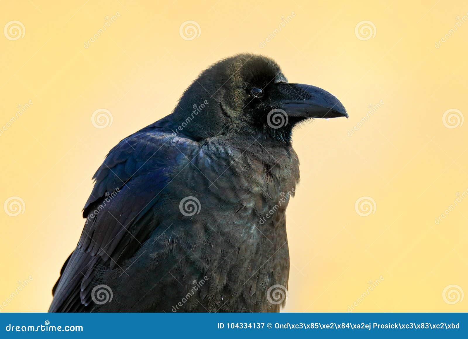 Kruk w zielonej trawie Żywieniowa scena od natury Czarny ptak od Niemcy Ptak z jedzeniem Łąka z krukiem Przyrody sceny wi